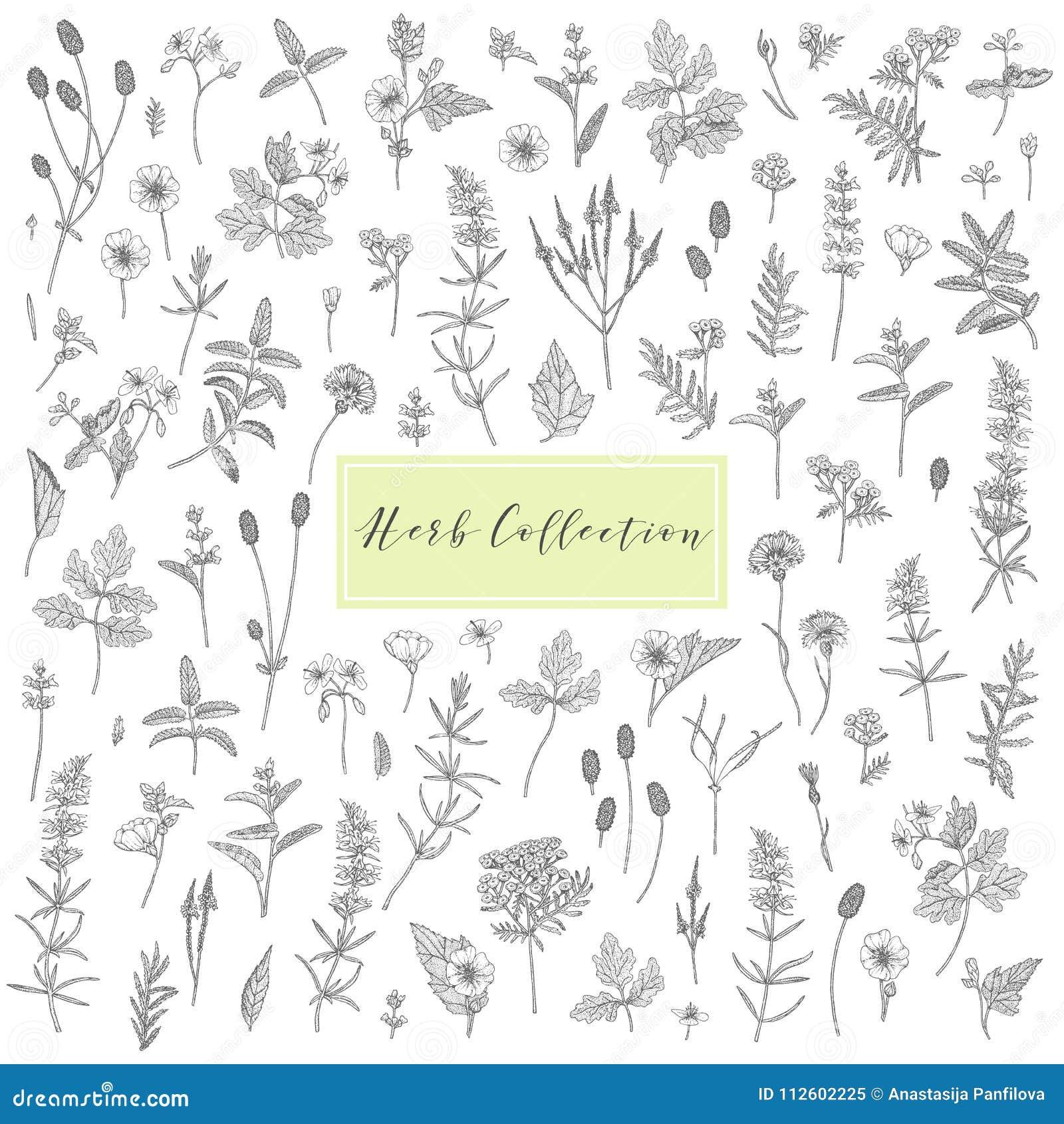 Vector medicinal herbs  stock vector  Illustration of