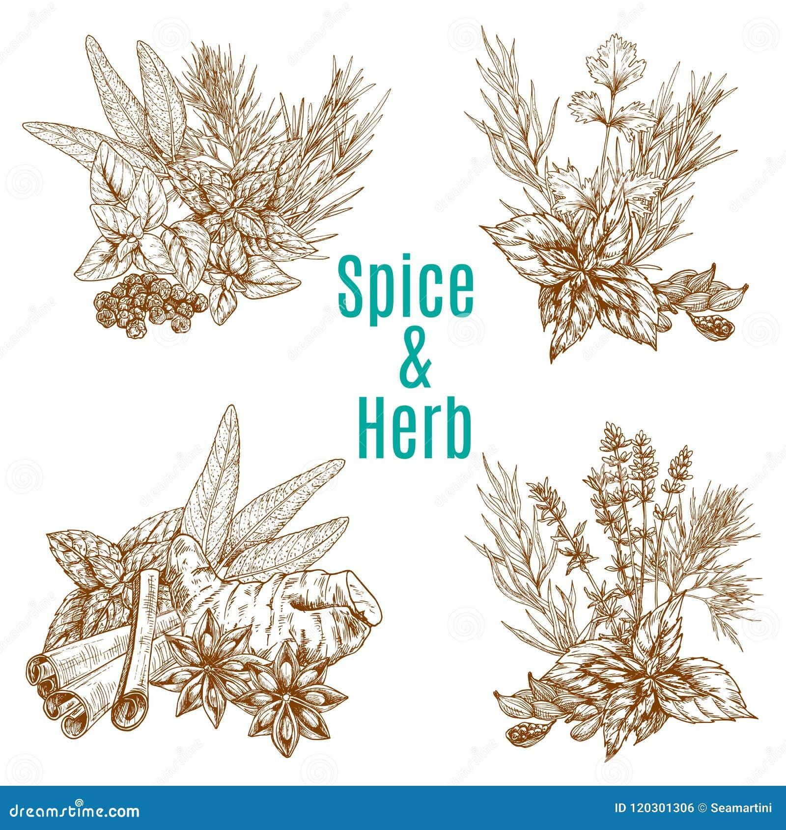 Vector o cartaz de temperos do esboço das especiarias ou das ervas