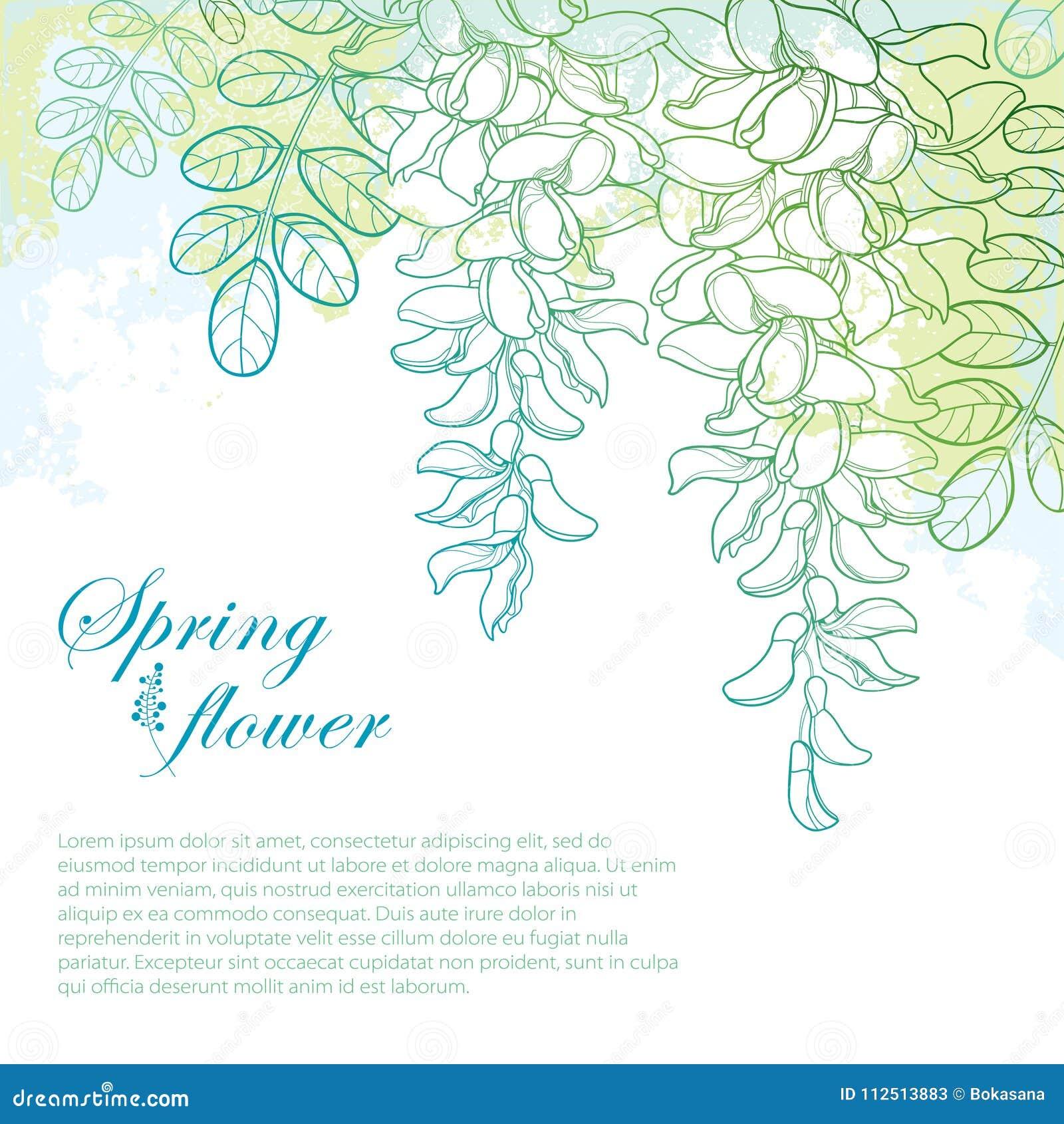 Vector o ramo da flor da acácia falsa branca do esboço ou dos locustídeo pretos ou do Robinia, do botão e das folhas no azul past