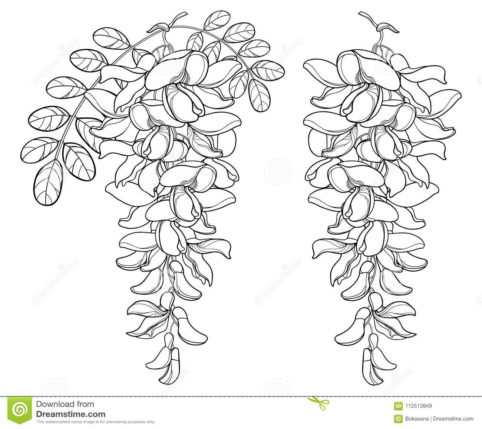 Vector o ramo da flor da acácia falsa branca do esboço ou dos locustídeo pretos ou do Robinia, do botão e das folhas no preto iso