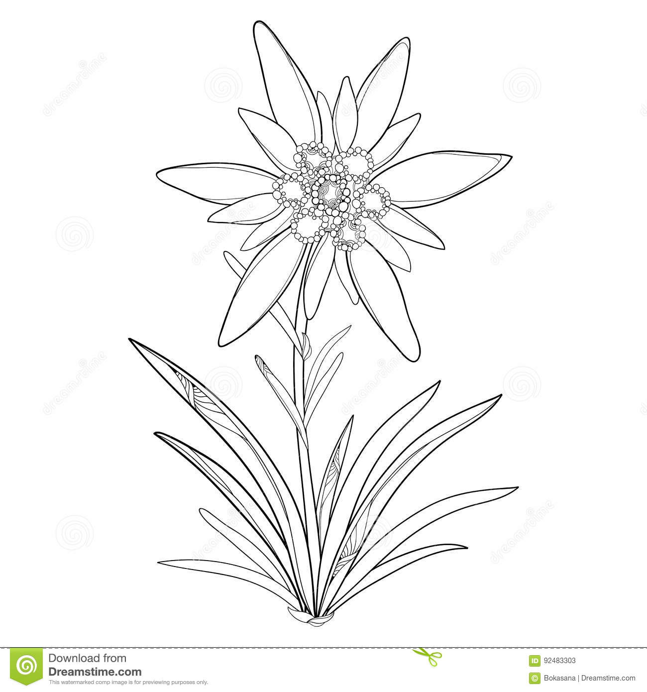 Vector Outline Edelweiss Or Leontopodium Alpinum. Flower