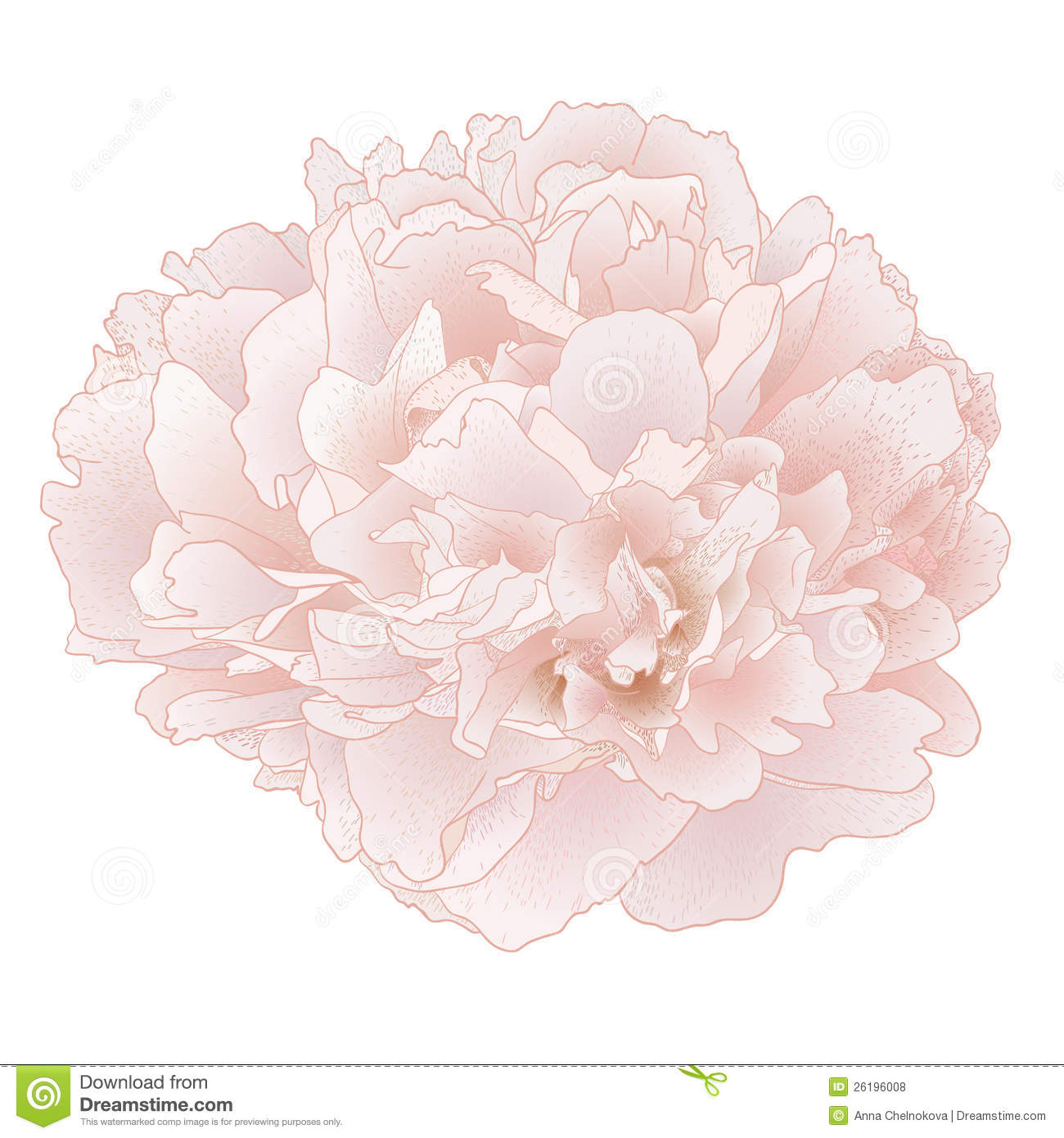 Vector Peony Flower Stock Vector Image Of Drawn