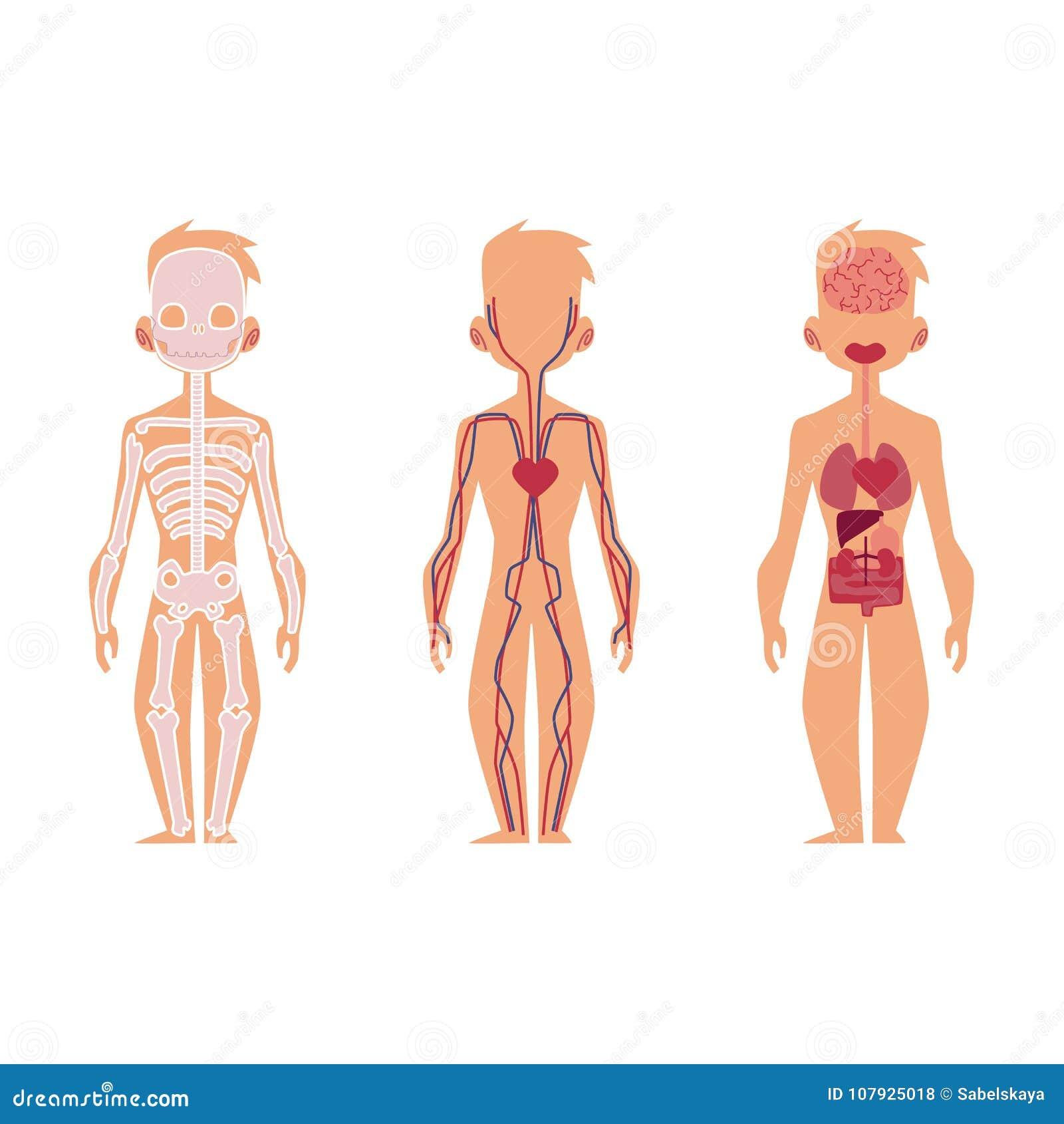 Vector People Internal Organs Anatomy Structure Stock Vector