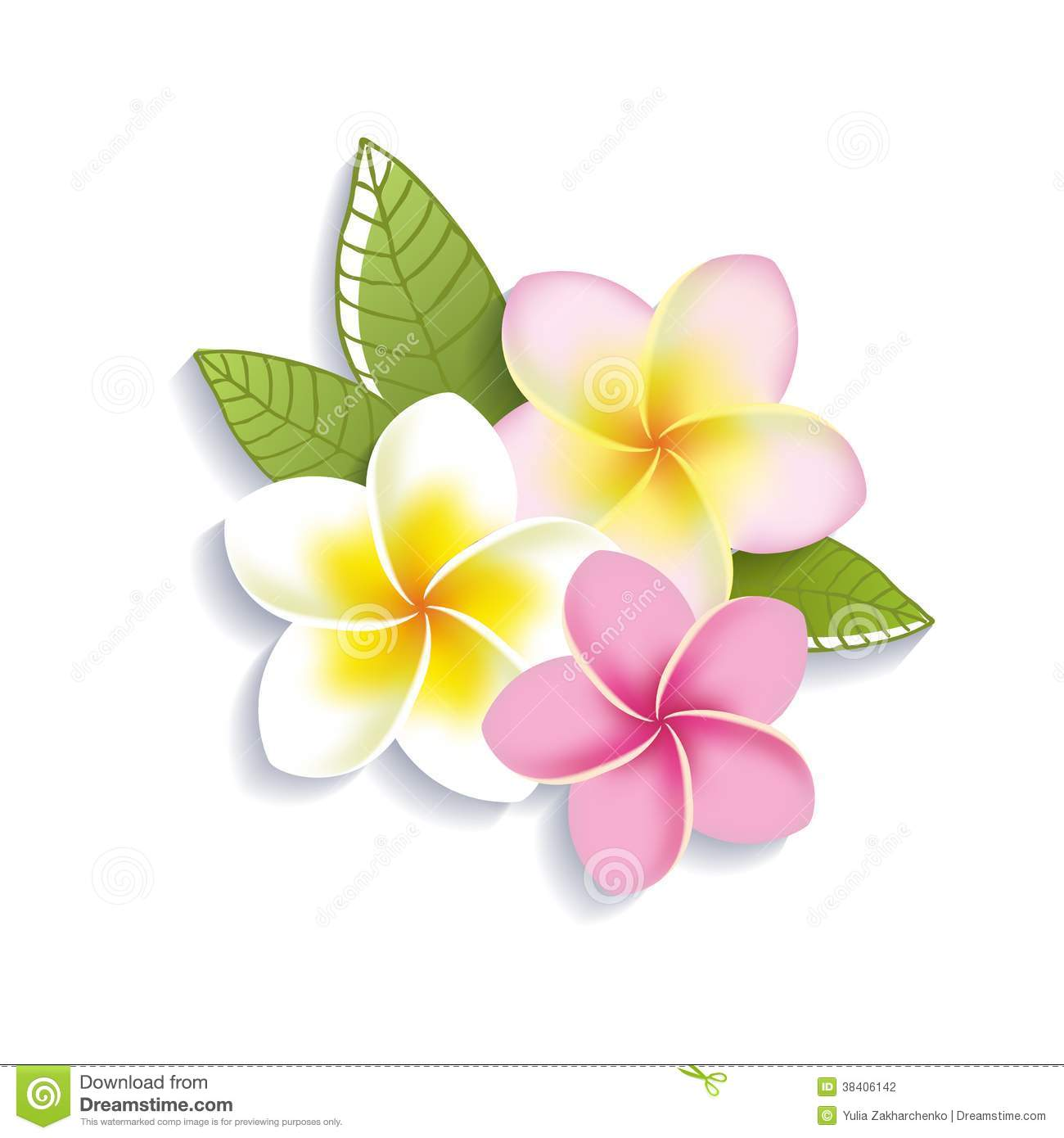 Vector Plumeria Flowers On A White Background Stock Photography ...