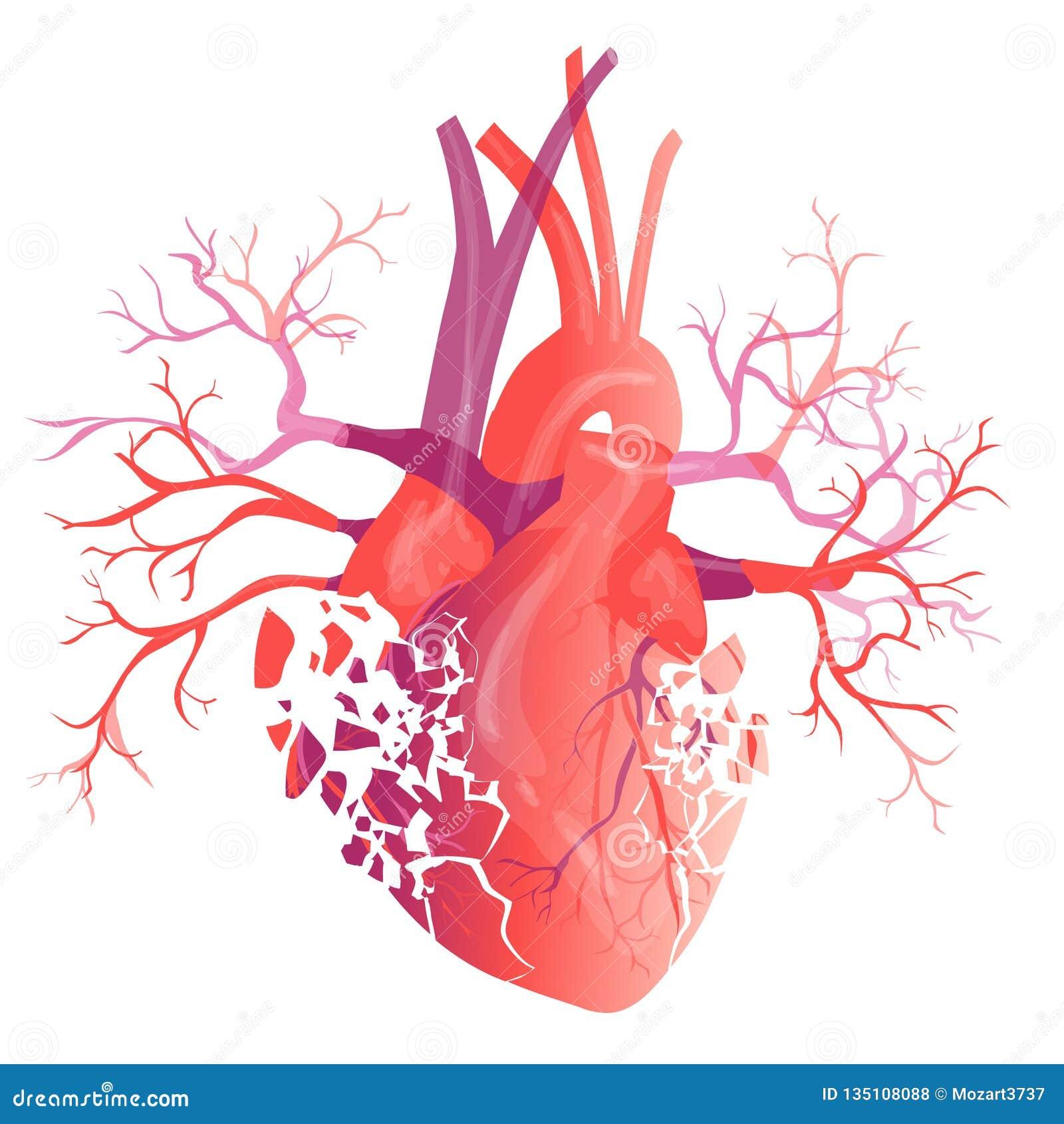 Vector Realistic Human Heart Anatomy Concept Illustration Stock
