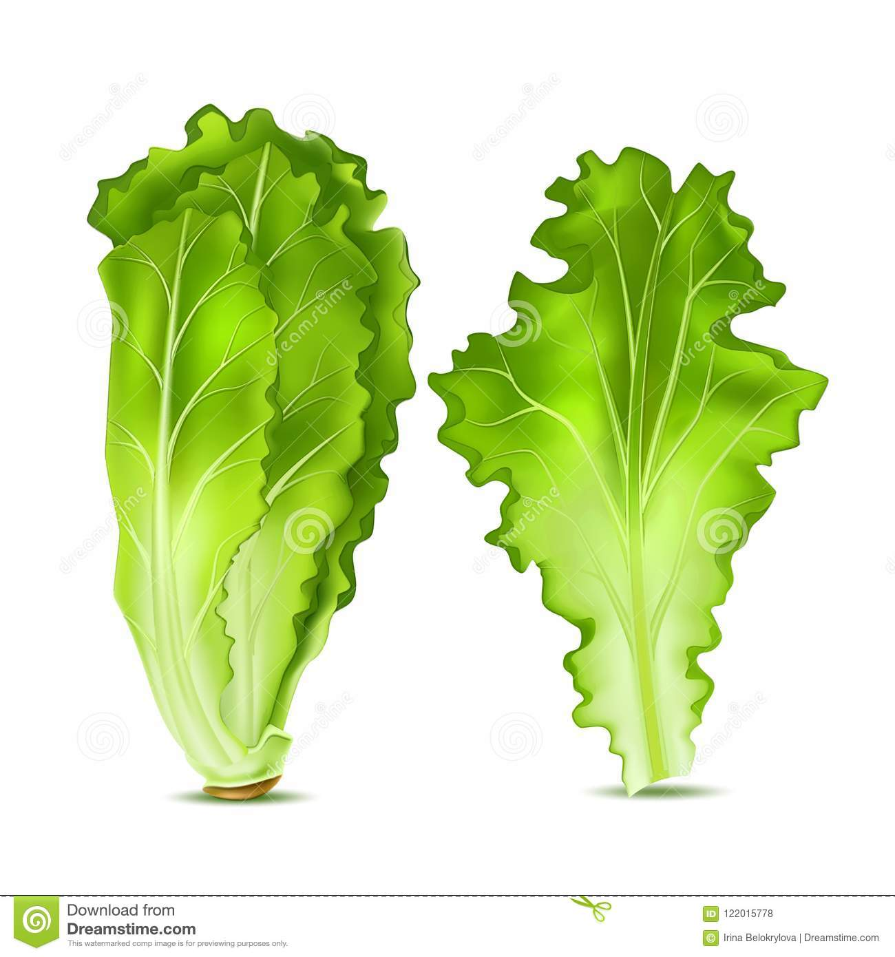 vector realistic lettuce salad leaves stock vector - illustration of eps10,  organic: 122015778  dreamstime.com