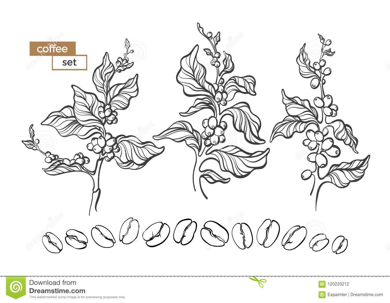 Vector Set Of Coffee Tree Branch Stock Vector Illustration Of