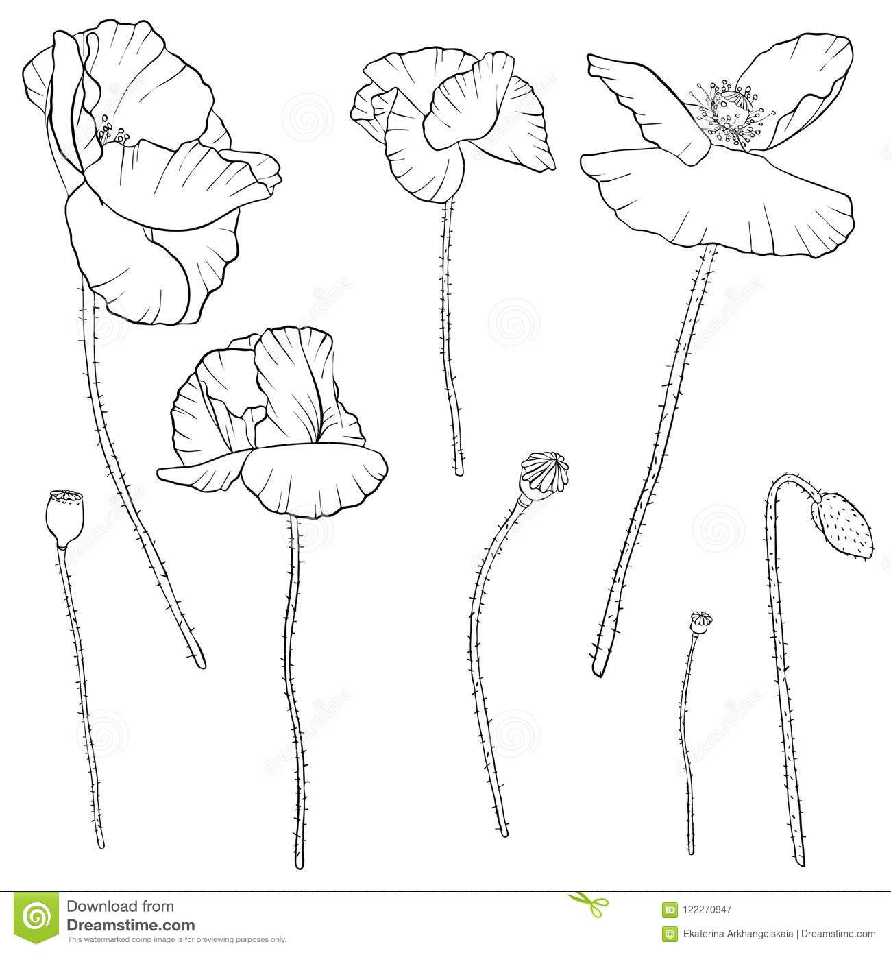 Vector Set Of Drawing Poppy Flowers Stock Vector Illustration Of