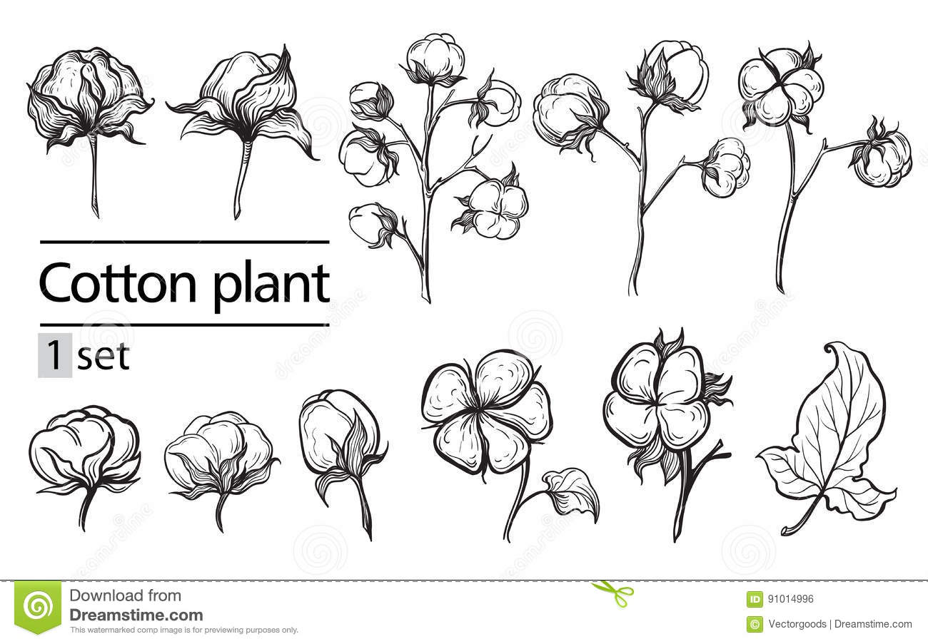 Vector Set Of Hand Draw Ink Cotton Plant Stock Vector