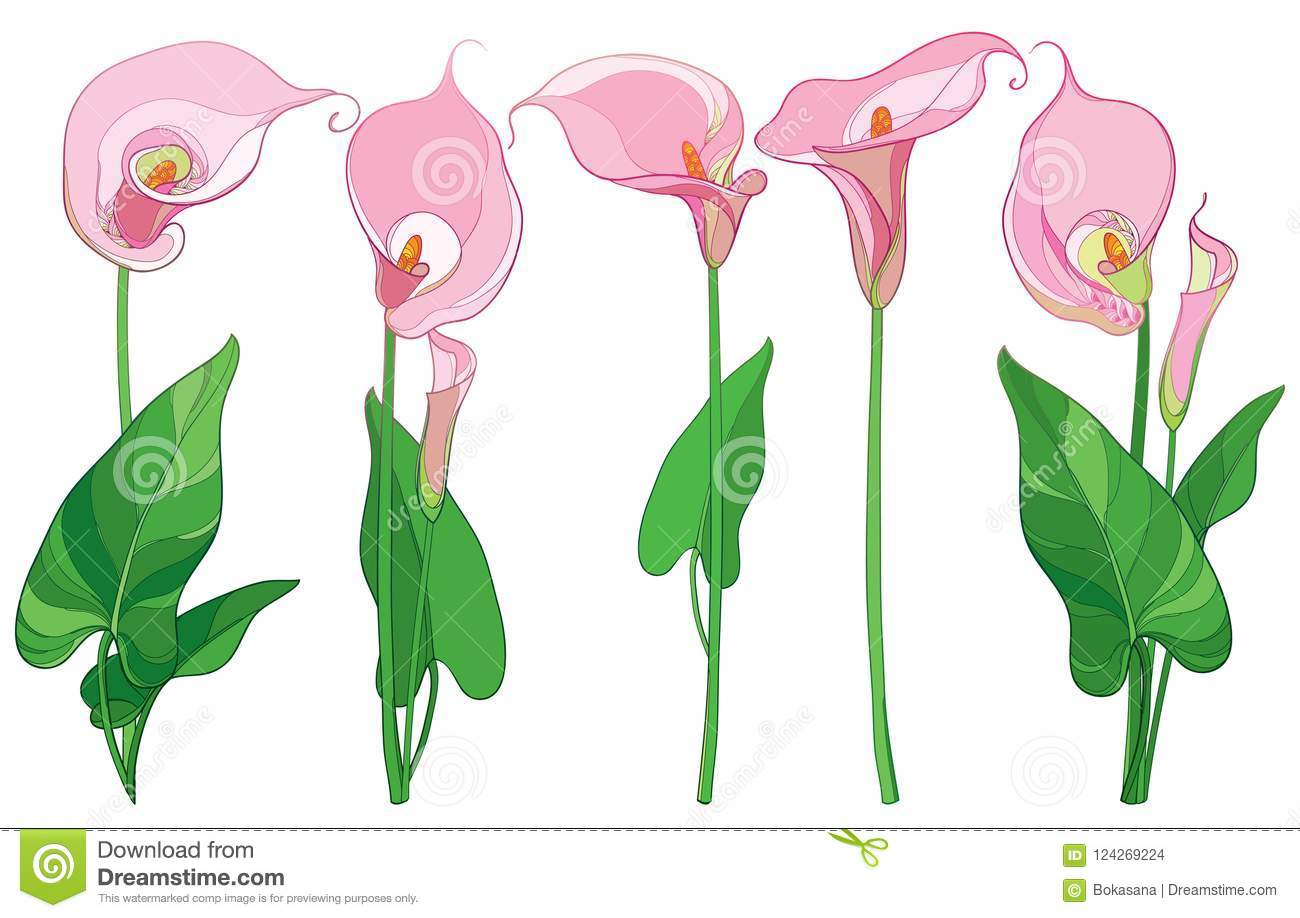 Vector Set With Outline Calla Lily Flower Or Zantedeschia Bud And