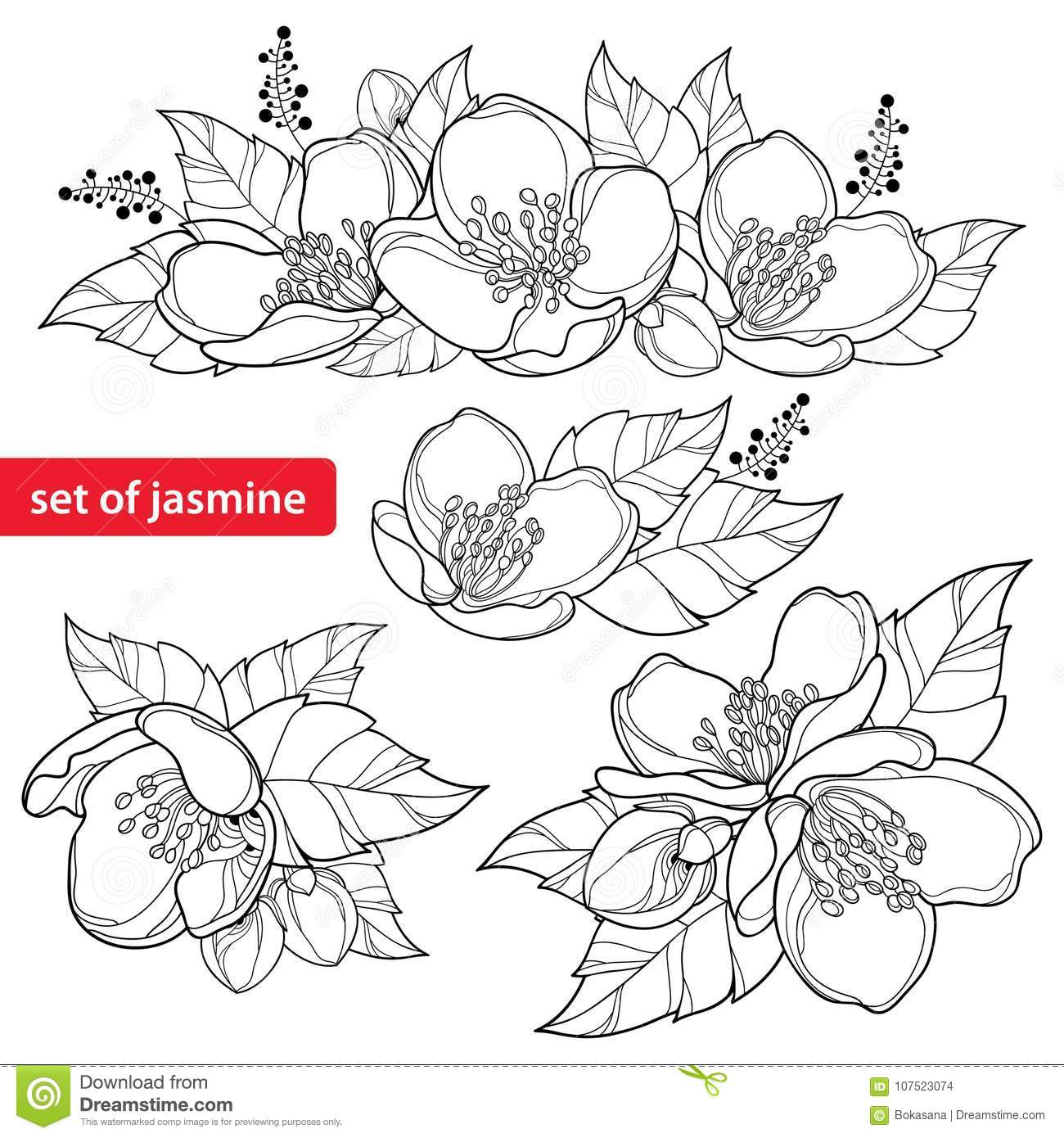 Vector Set With Outline Jasmine Flower Bunch Bud And Ornate Leaves