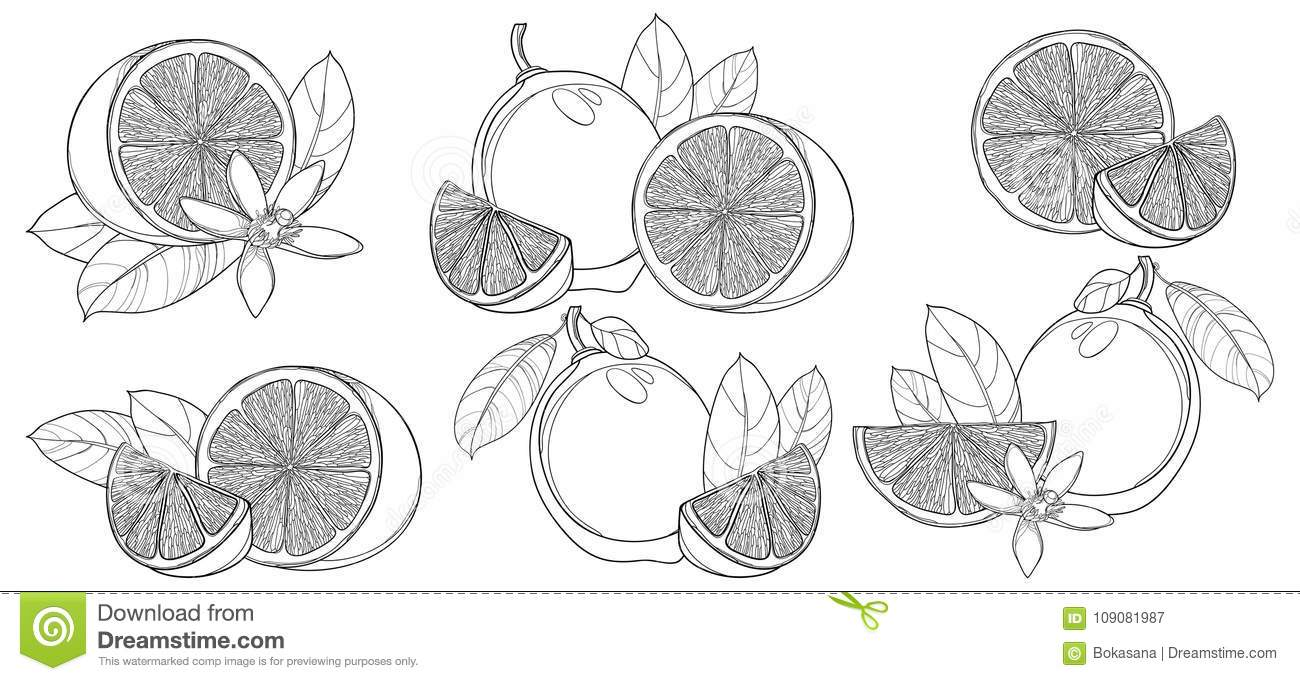 Vector set with outline Lime isolated on white background. Contour half and whole fruit, slice, leaf and Lime flower in black.