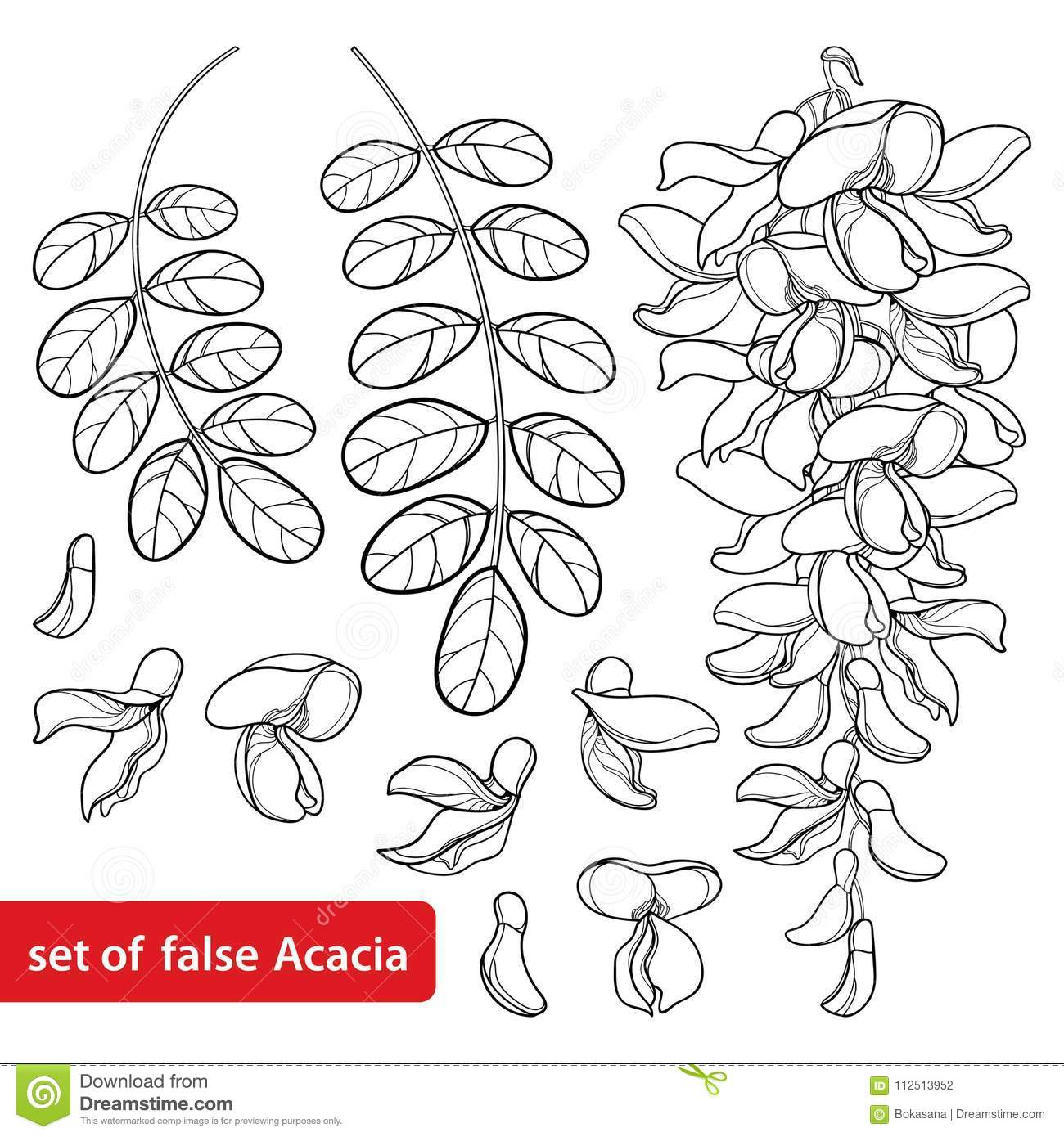 Vector set of outline white false Acacia or black Locust or Robinia flower bunch, bud and leaves in black isolated on white.
