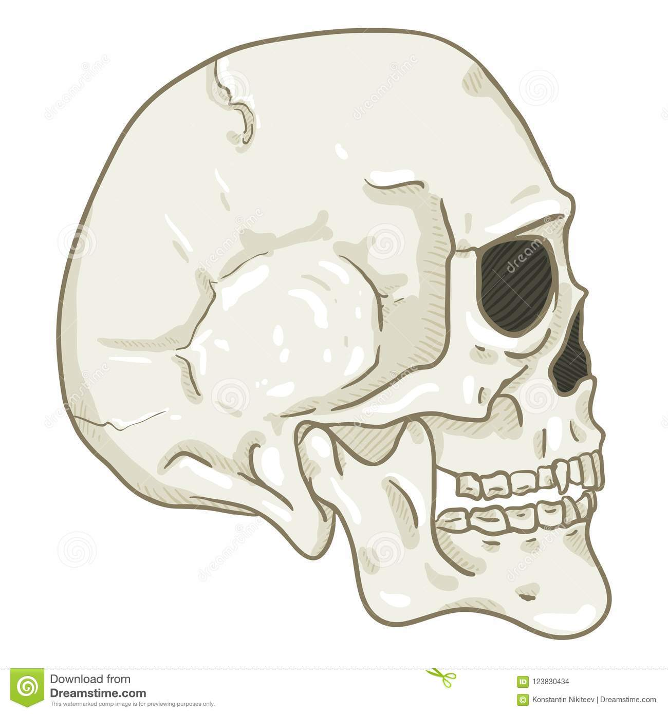 Human Skull Front View Cartoon Topsimages