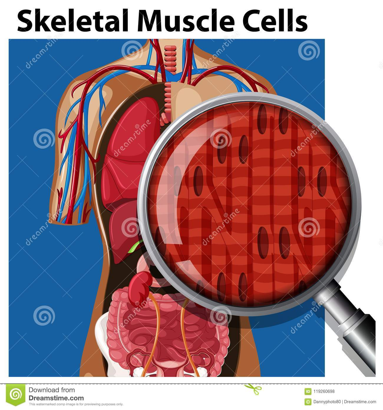 A Vector Of Skeletal Muscle Cells Stock Vector Illustration Of