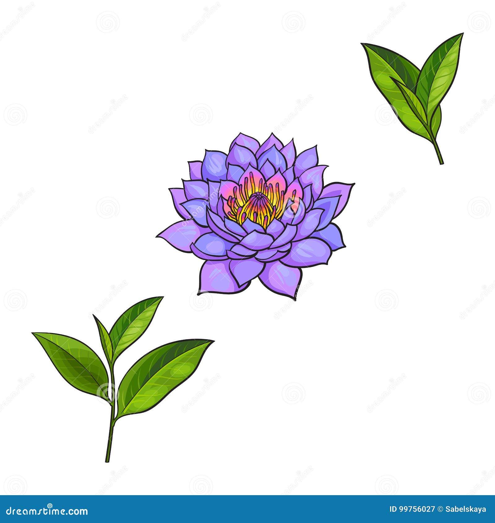 Vector sketch lotus flower tea leaves set stock vector download vector sketch lotus flower tea leaves set stock vector illustration of lotus mightylinksfo