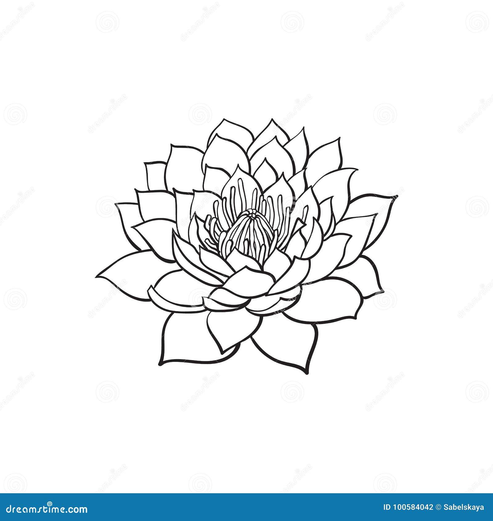 Vector Sketch Lotus Flower Blossom Blooming Stock Vector