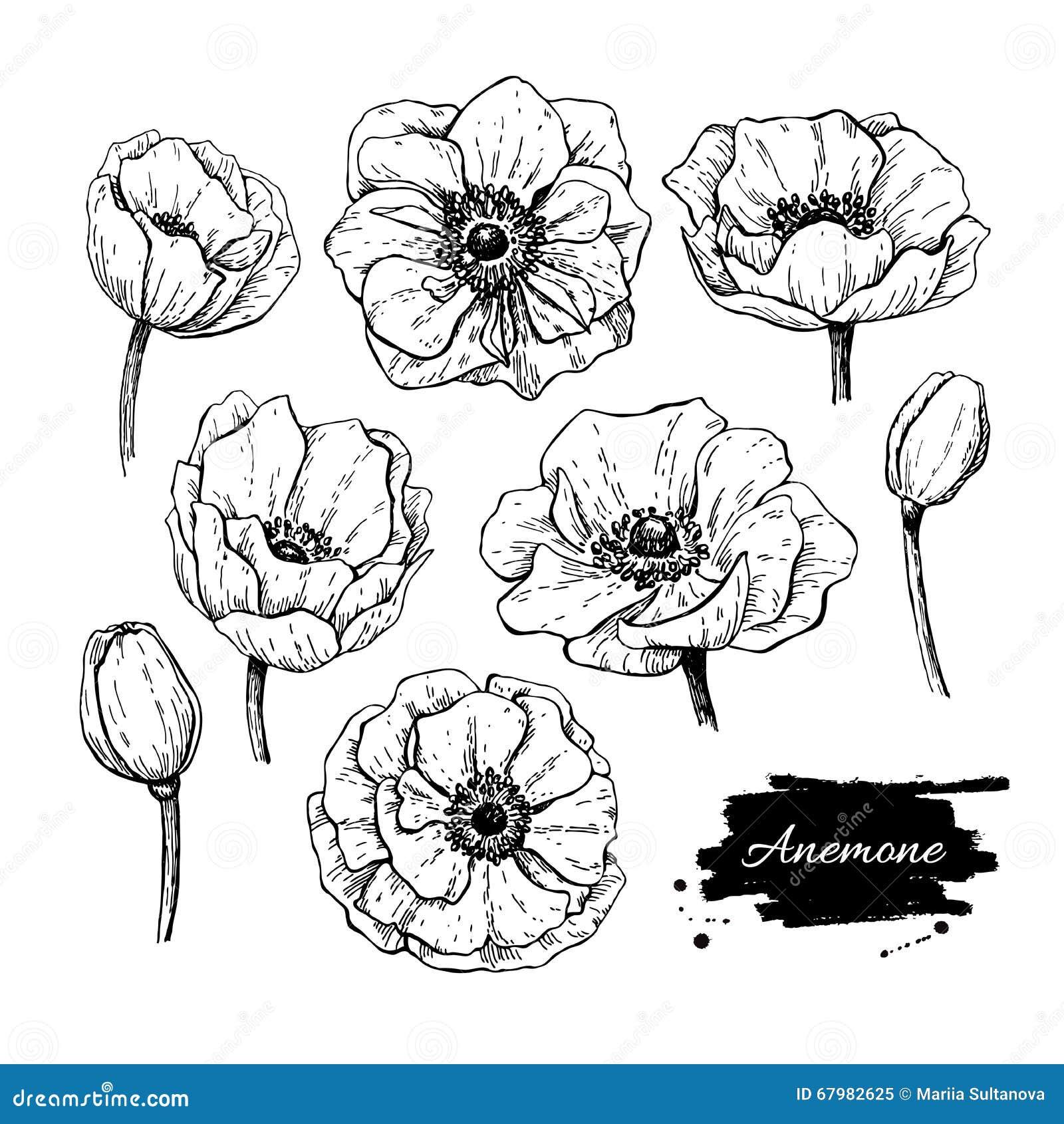Anemone Flower Line Drawing : Vector vintage anemone set hand drawn illustration stock