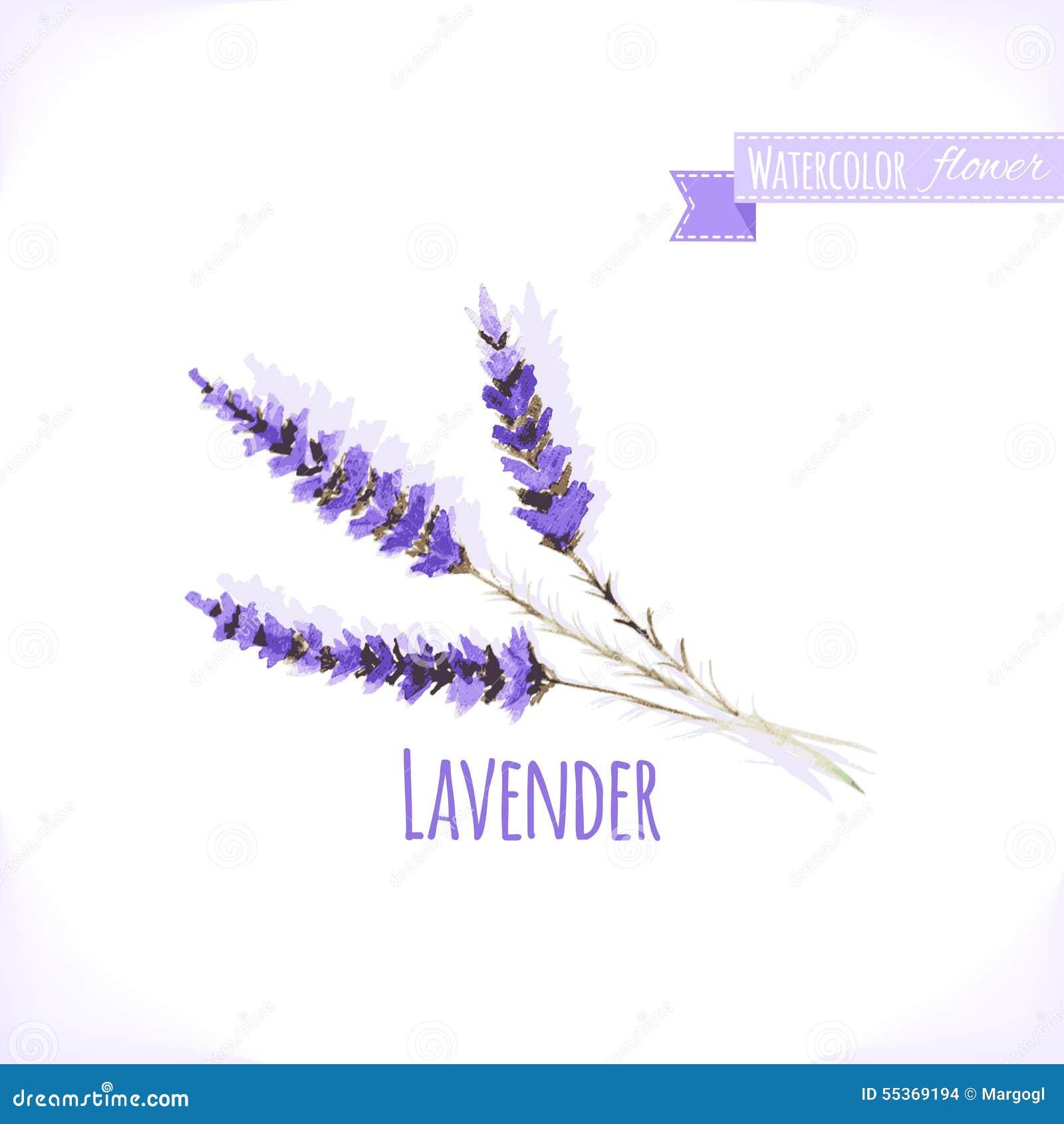 vector watercolor lavender  stock vector
