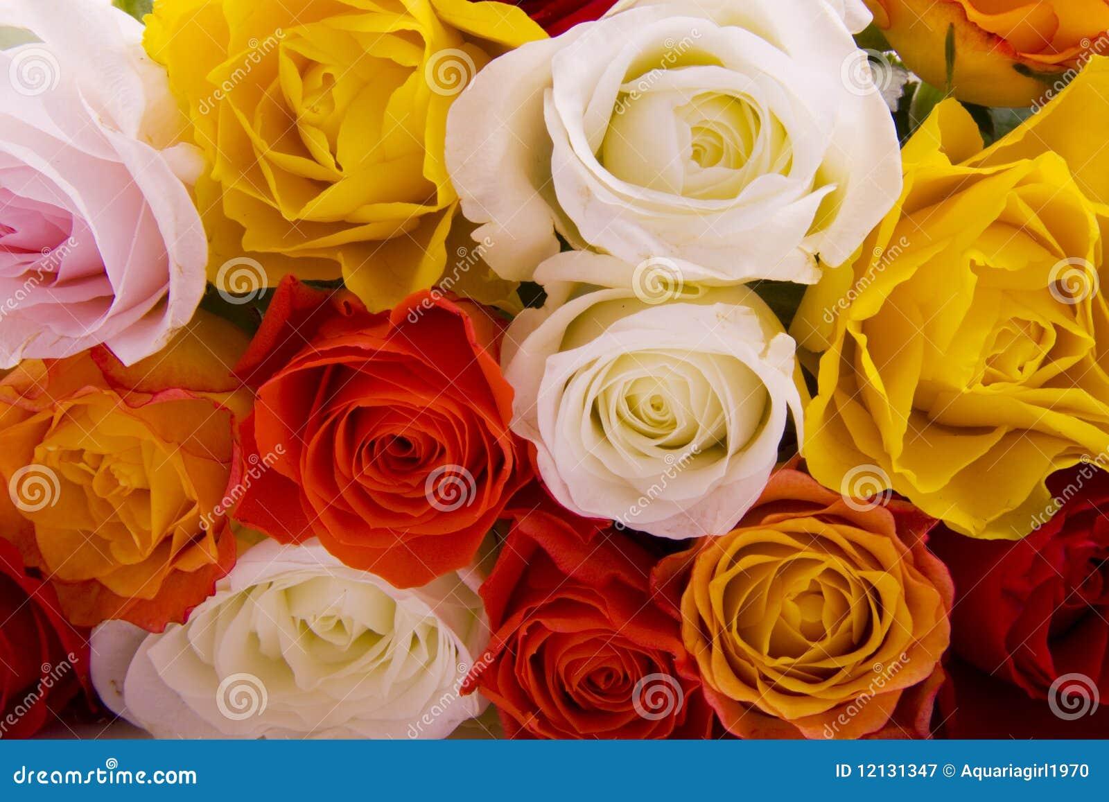 Veel rozen