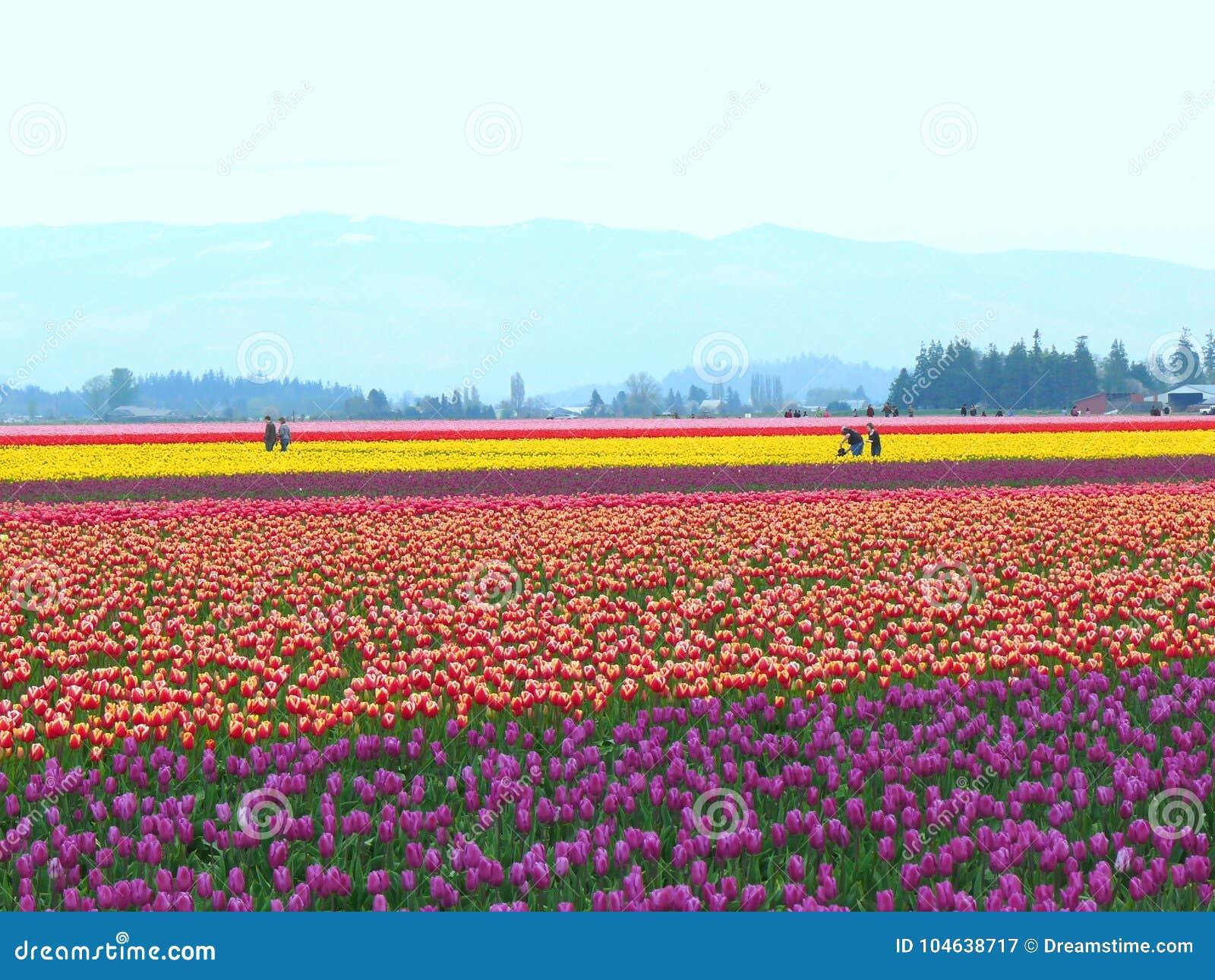 Download Veelvoudige De Kleurentulp Van De Bloemtuin Redactionele Fotografie - Afbeelding bestaande uit viooltje, vrede: 104638717