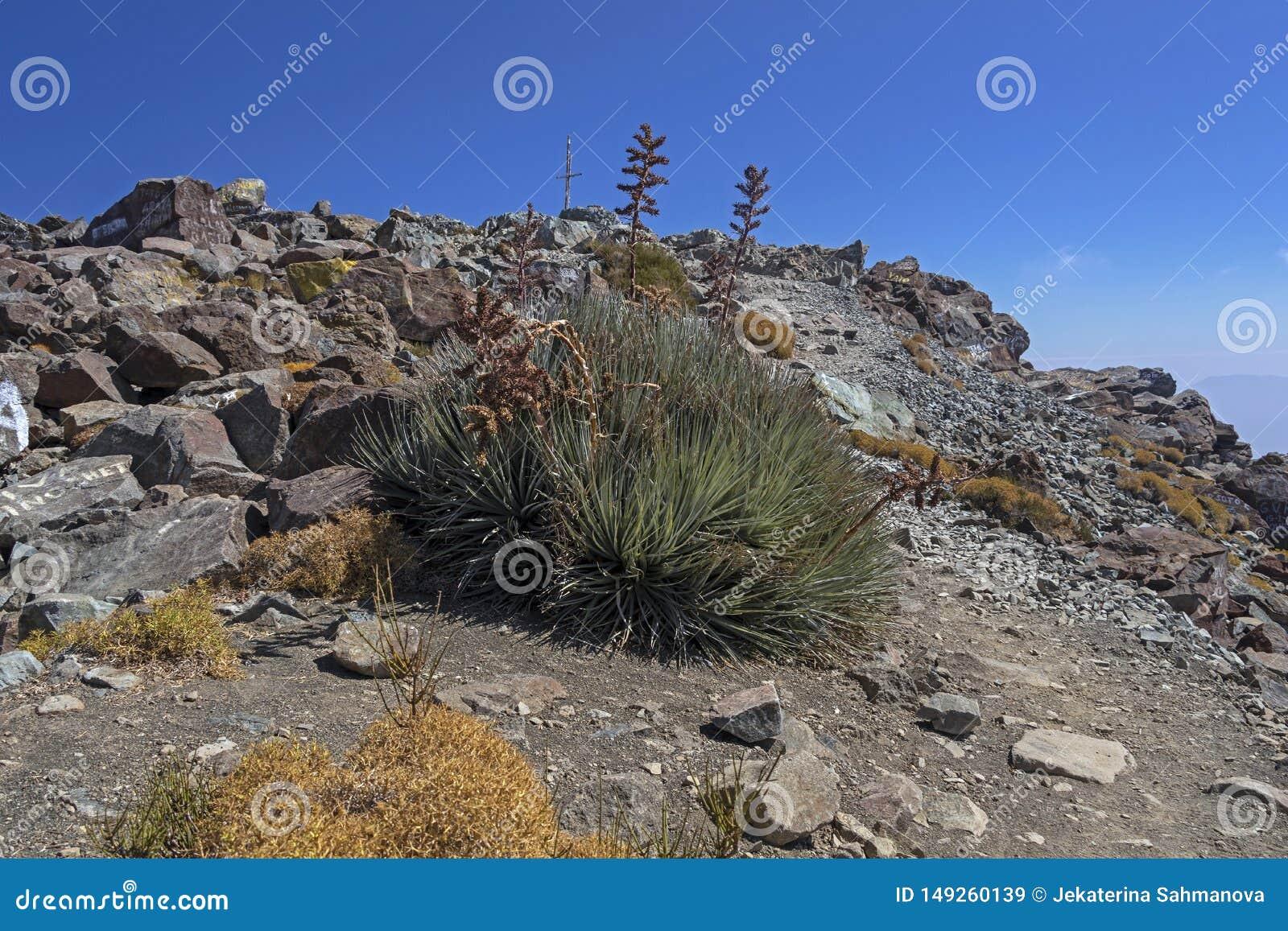 Vegeta??o da montanha com alo?s e cacto, flora do parque de Campana National do La no Chile central, ?m?rica do Sul