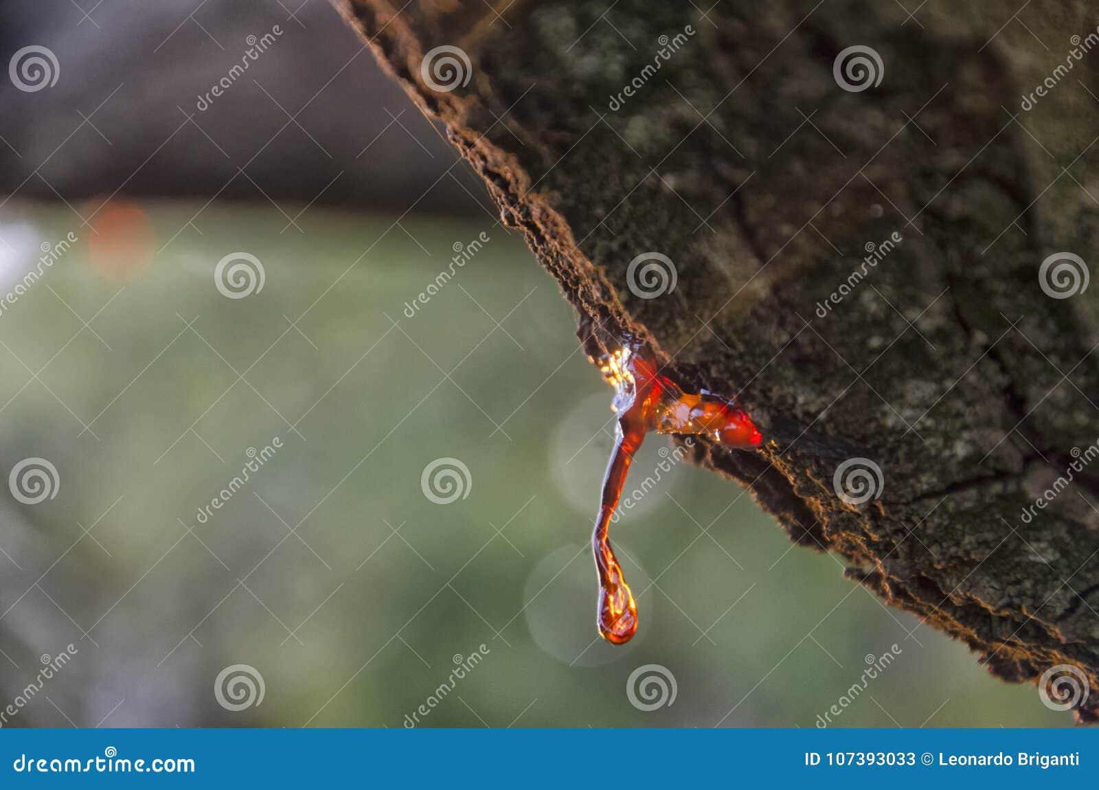 Vegetable смола дерева