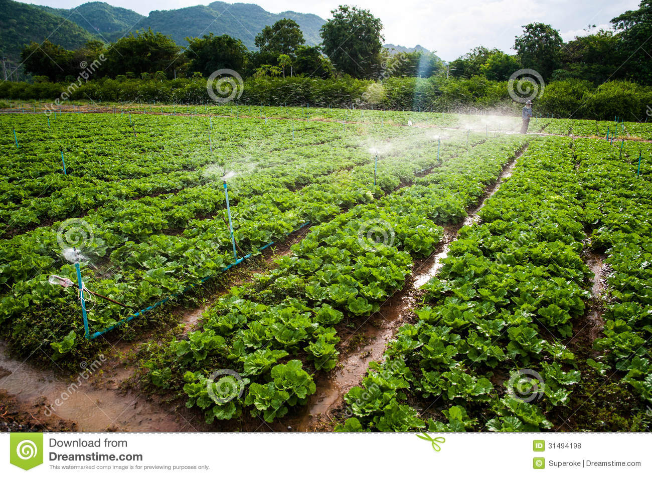 Vegetable Farm Royalty Free Stock Photos - Image: 31494198