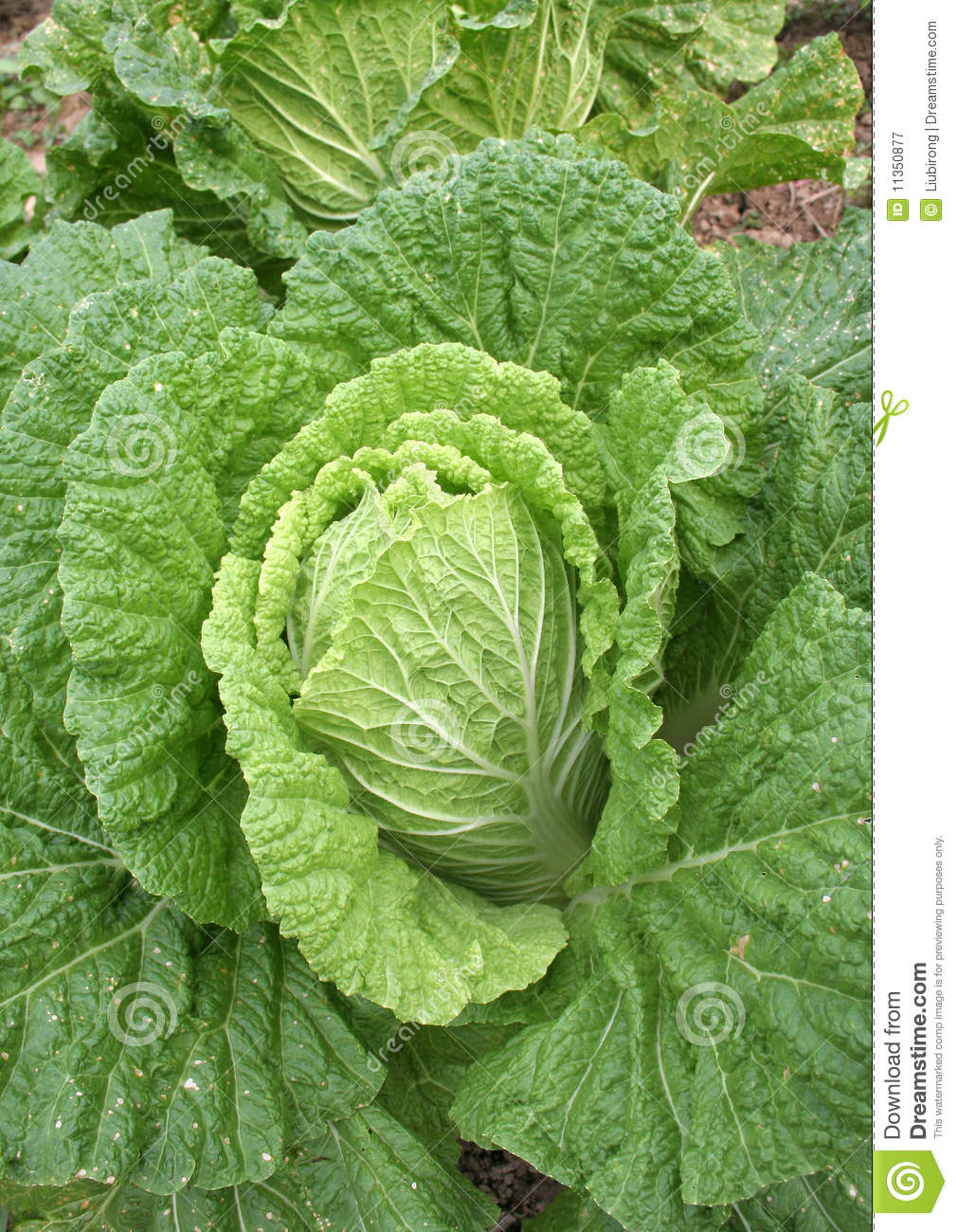 Vegetable Field Stock Image. Image Of Crop, Farming, Fresh