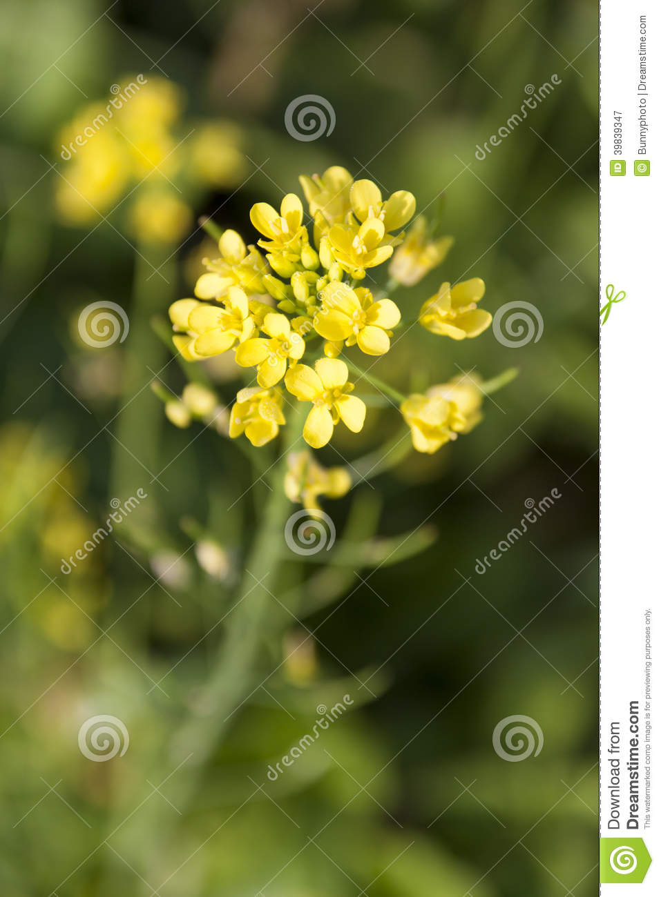 Vegetable flowers stock image image of agriculture green 39839347 vegetable flowers mightylinksfo