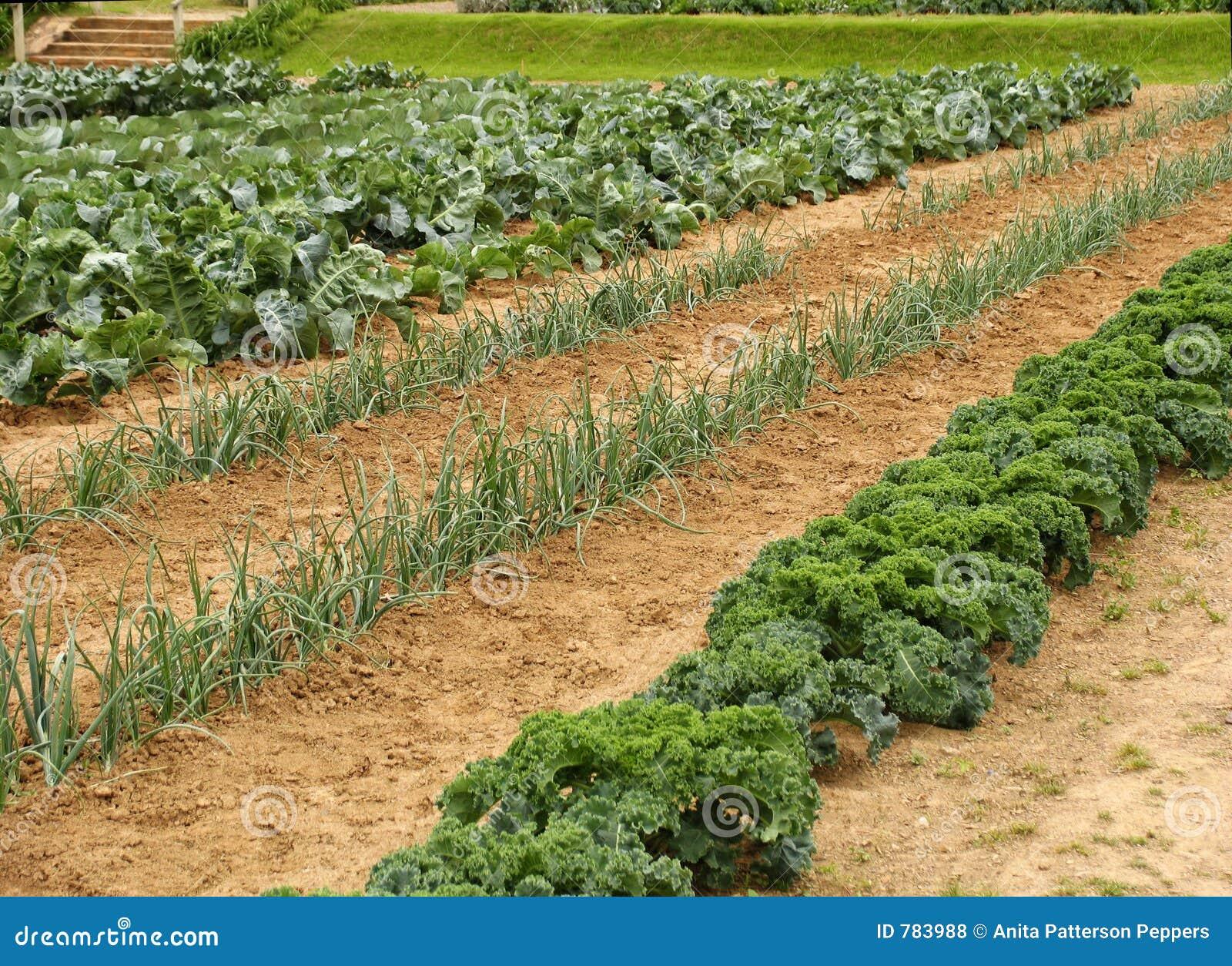 Free stock photo of garden - Vegetable Garden Royalty Free Stock Photos