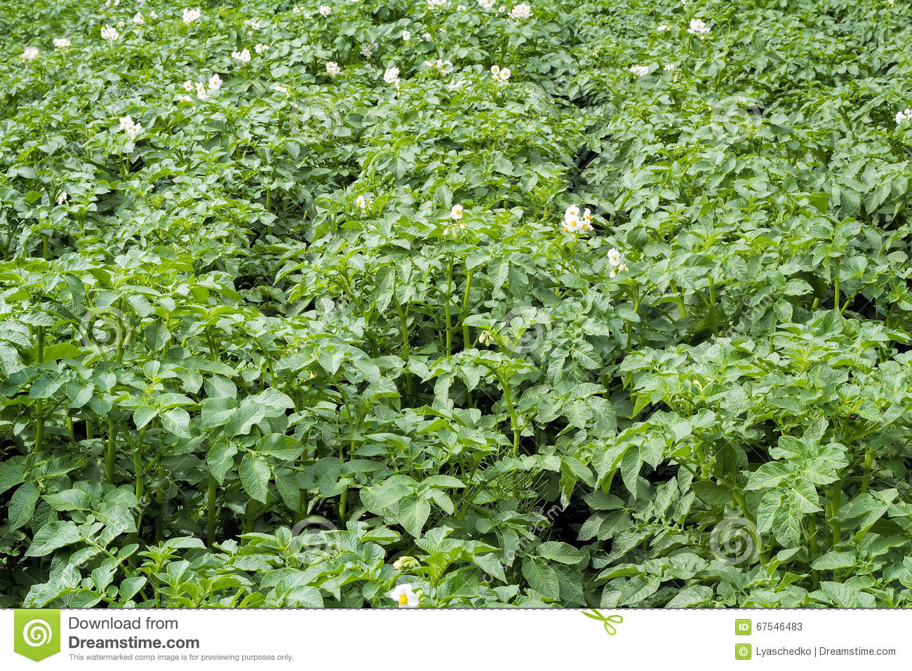 Vegetable Garden With Flowering Potato Plants Stock Image Image
