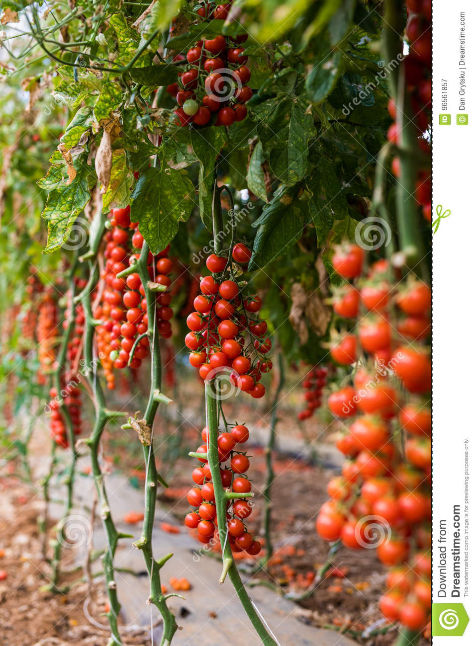 Vegetable Garden With Plants Of Red Tomatoes Cherry On A Vine ...