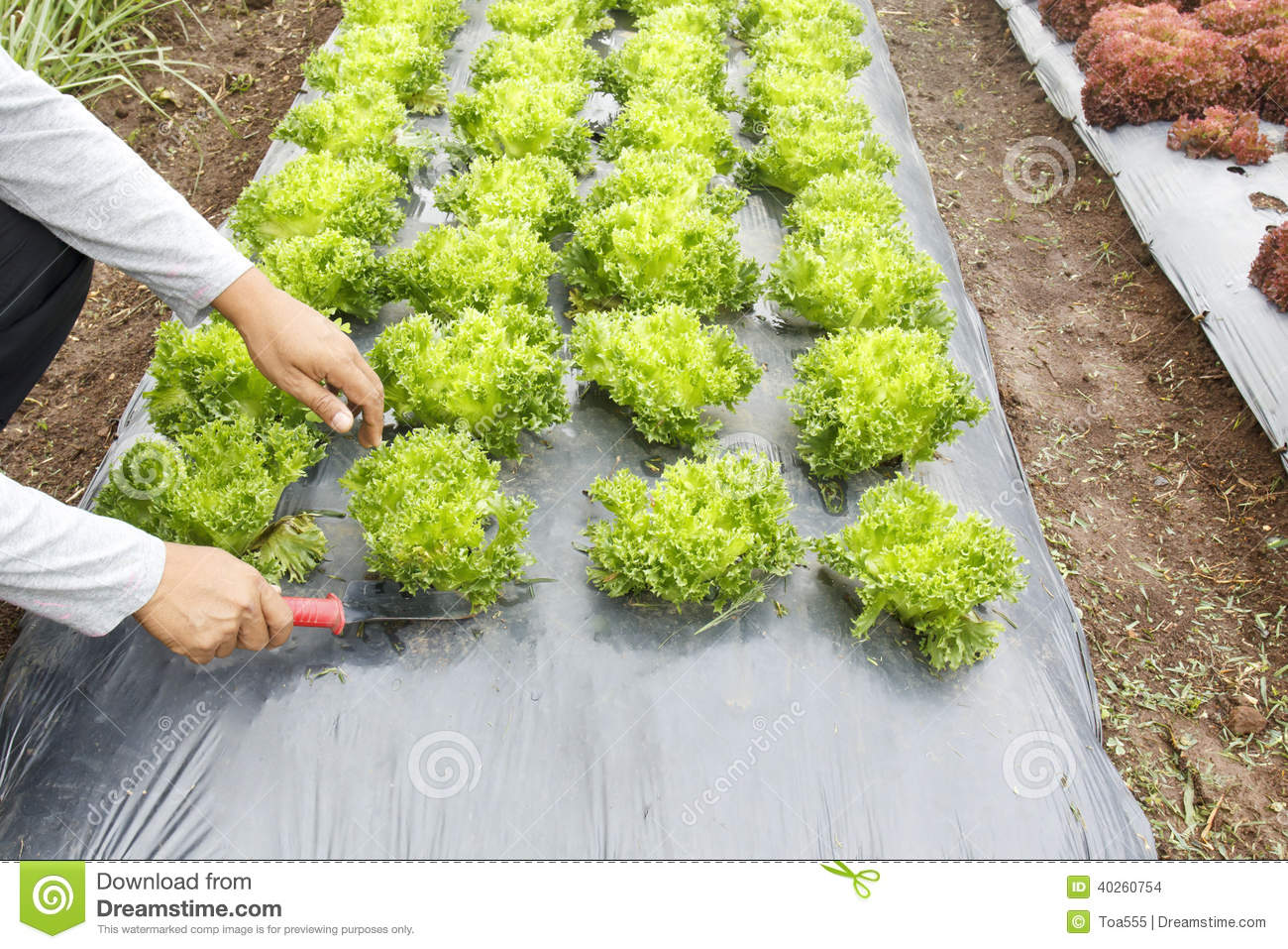 Vegetable Garden with Plastic Ground Cover Stock Photo Image