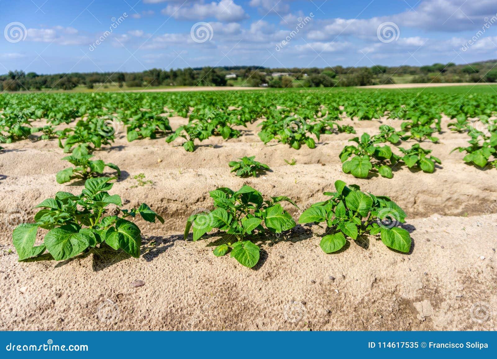 Vegetable garden potato plantations on the ground, concept eco
