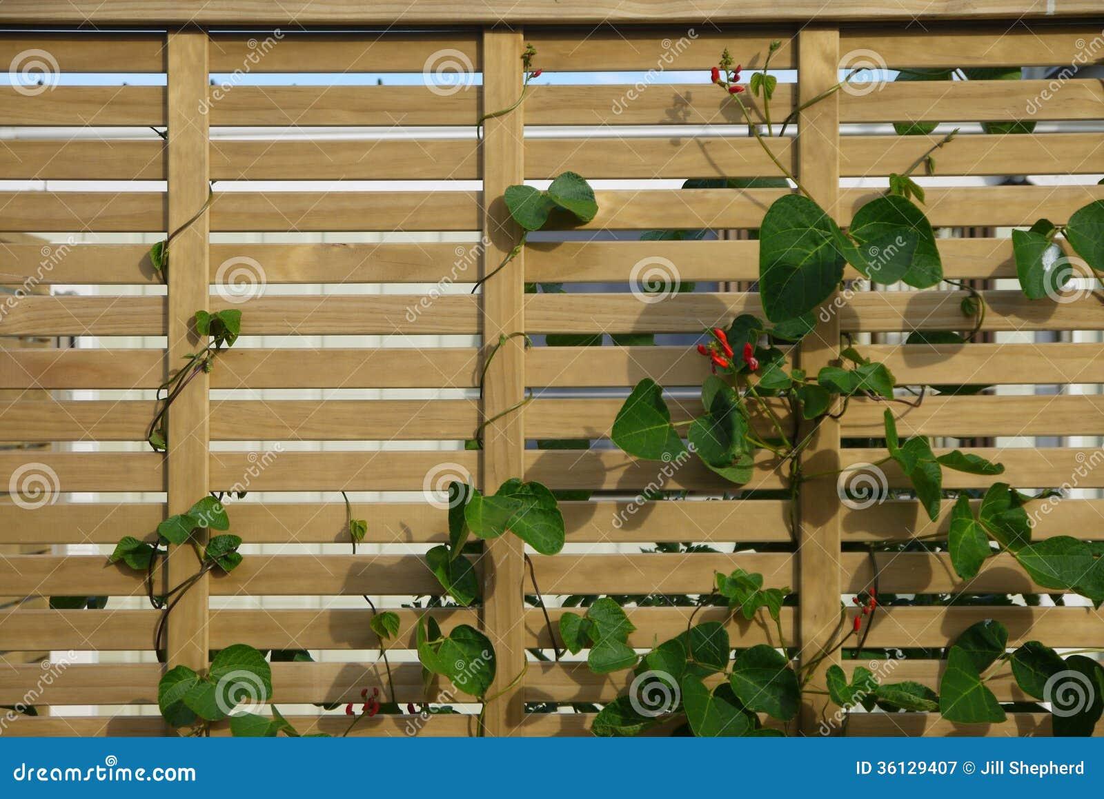 Vegetable Garden: Scarlet Runner Beans Fence Stock Image - Image of ...