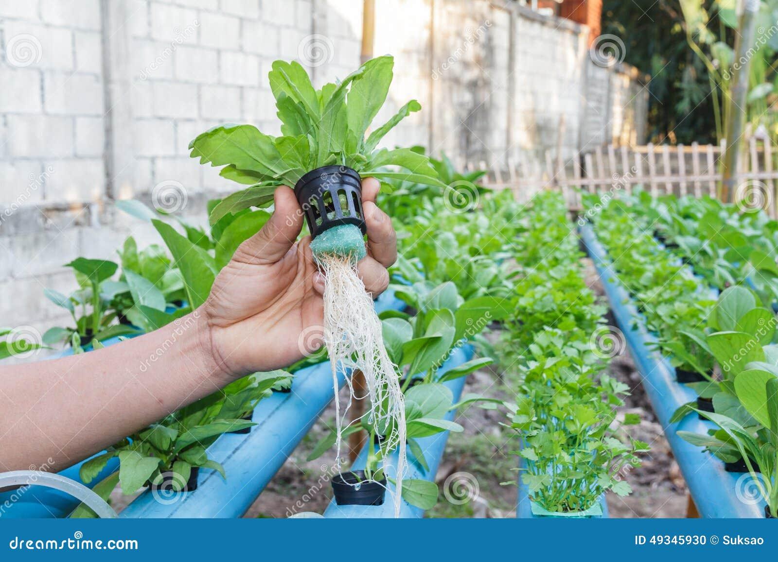 Огурцы - выращивание, посадка, уход. В открытом грунте и 81