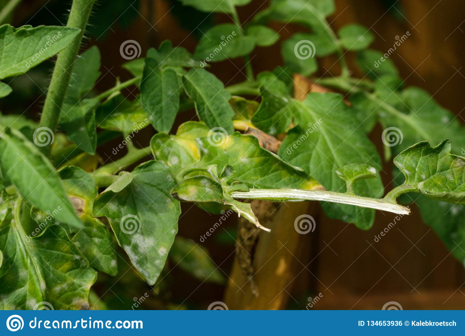 Vegetable, Tomato Plant Problems And Sickness ,too Much
