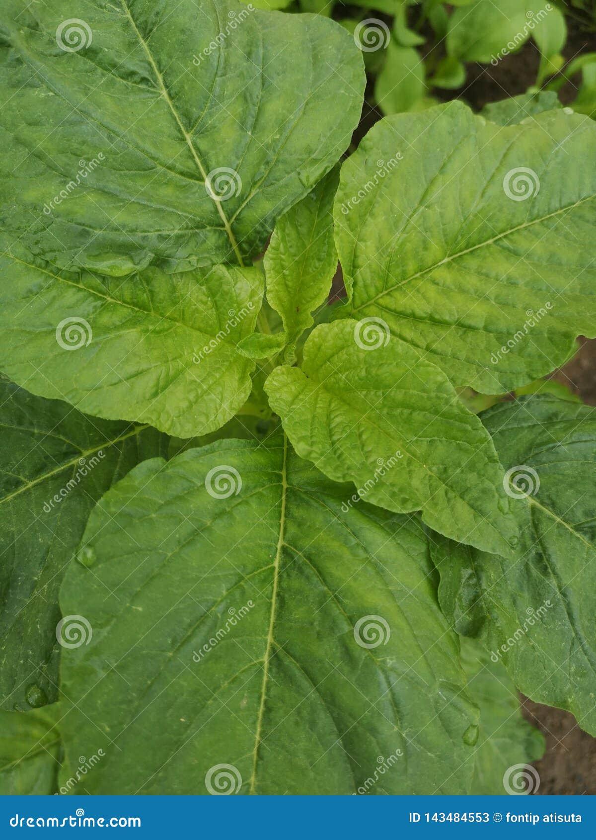 Vegetables†för ‹för Chinese†‹violet†‹,