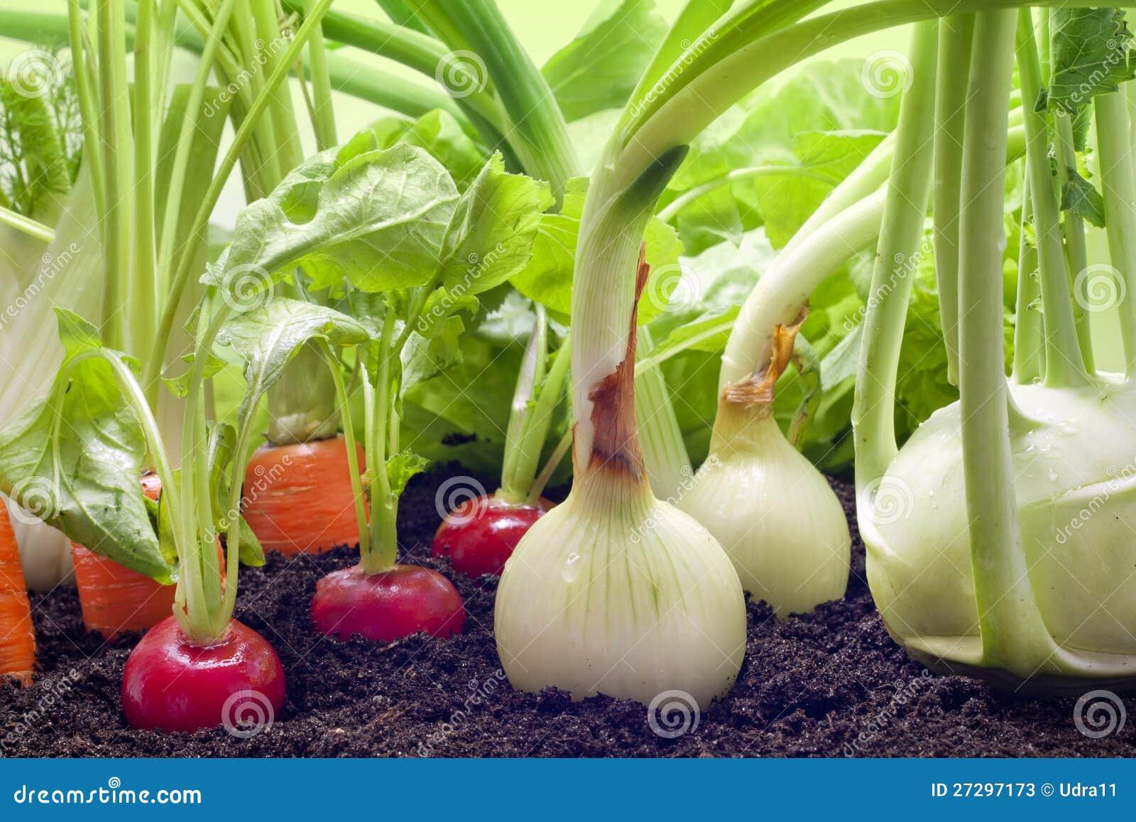 Vegetables growing in the garden stock image image 27297173 for Garden vegetables to grow