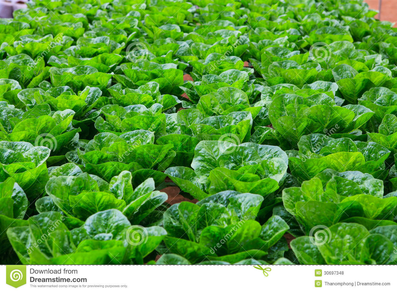 Vegetables Hydroponics Farm Royalty Free Stock Photos - Image ...