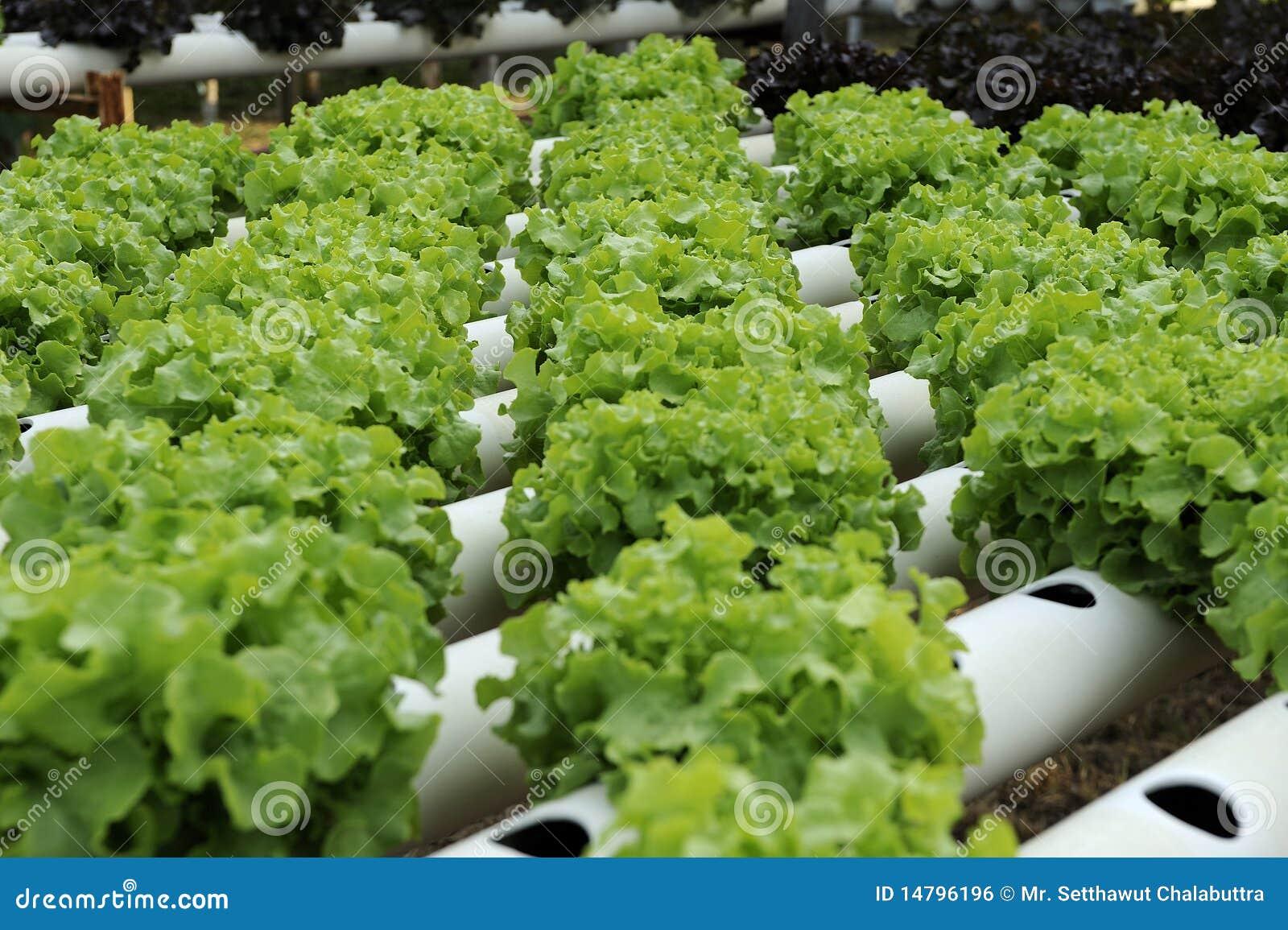 Vegetal do Hydroponics