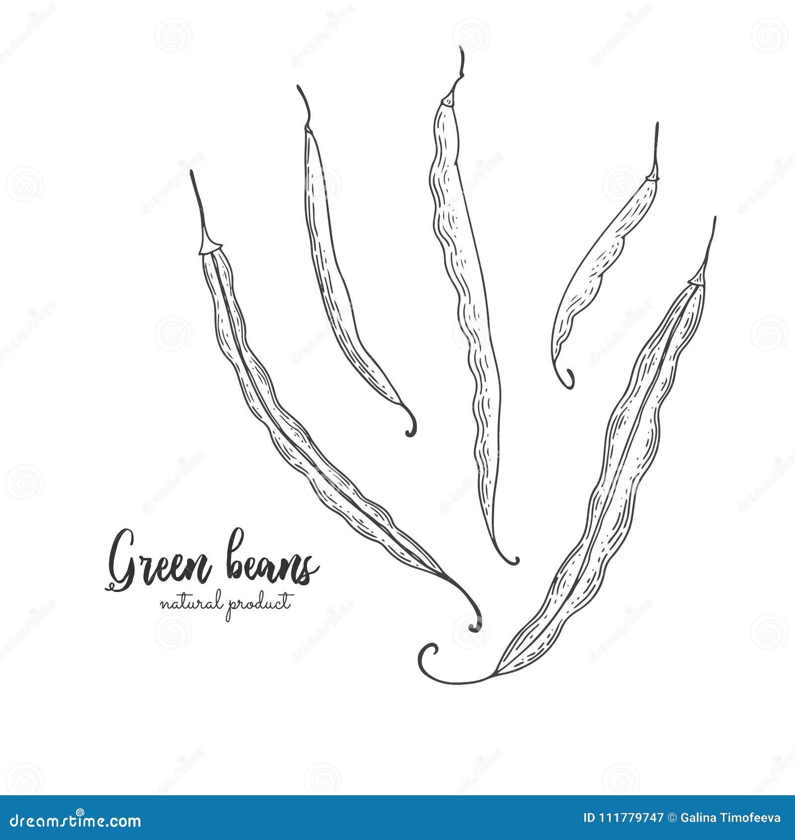 Vegetarian food. Hand drawn isolated green beans. Vector vintage vegetables illustration. Detailed vegetarian food
