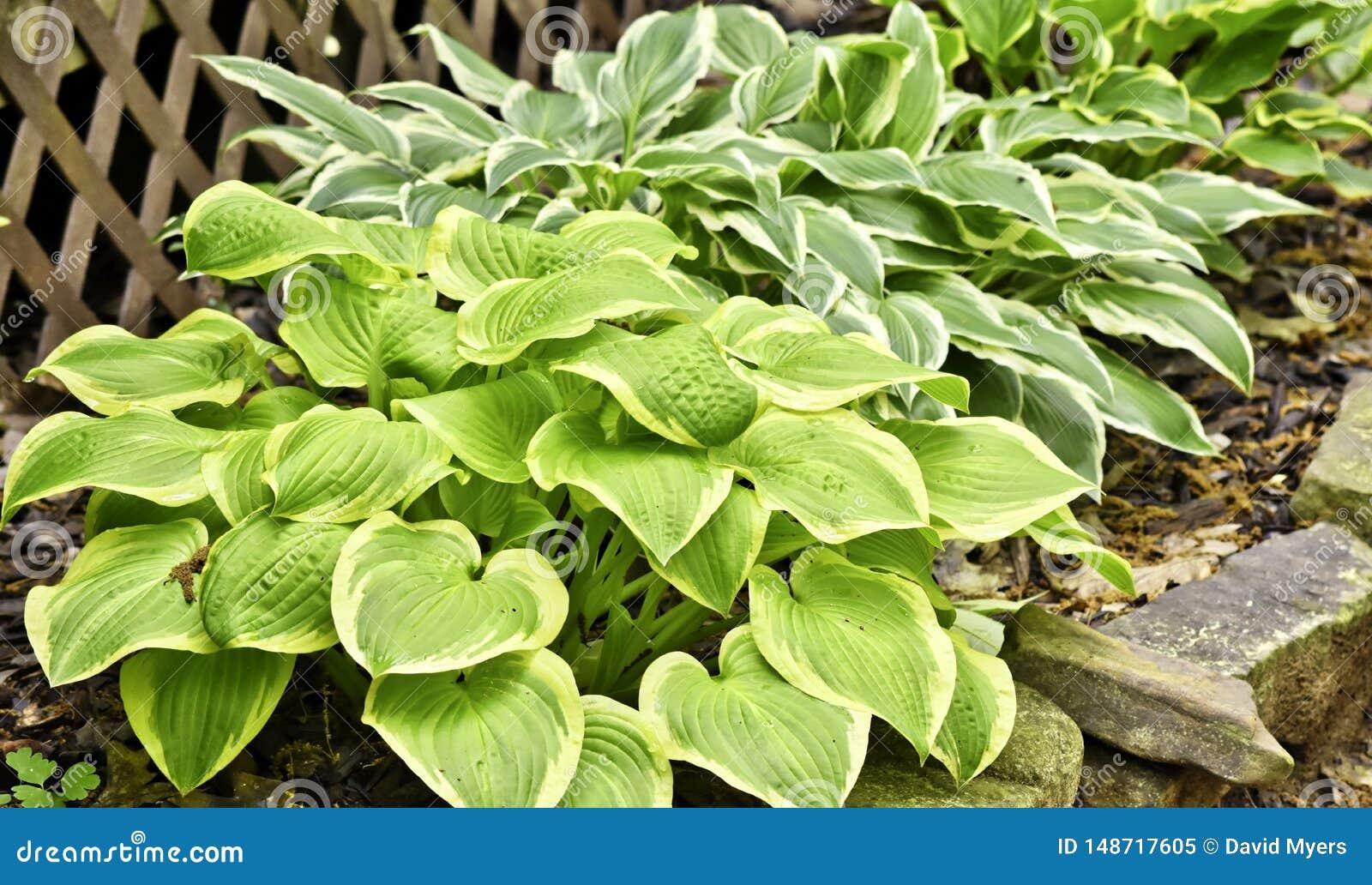Vegetation Hostas Variegated Shade Tolerant Stock Image Image