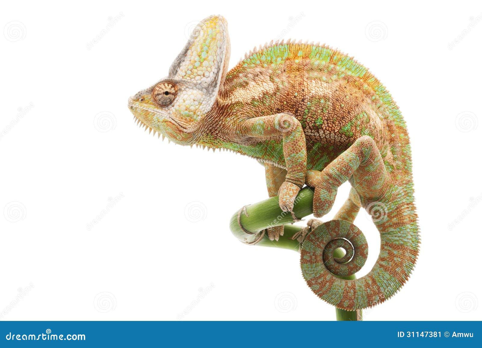 Veiled Chameleon Stock Image Image 31147381