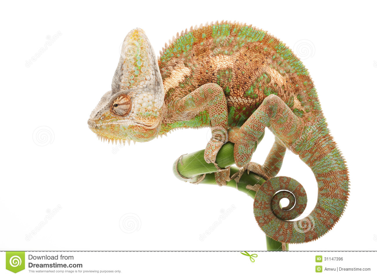 an introduction to the nature of the chamaleo calyptrus Download this free picture about chameleon chamaeleo calyptratus from pixabay's vast library of public domain images and videos.