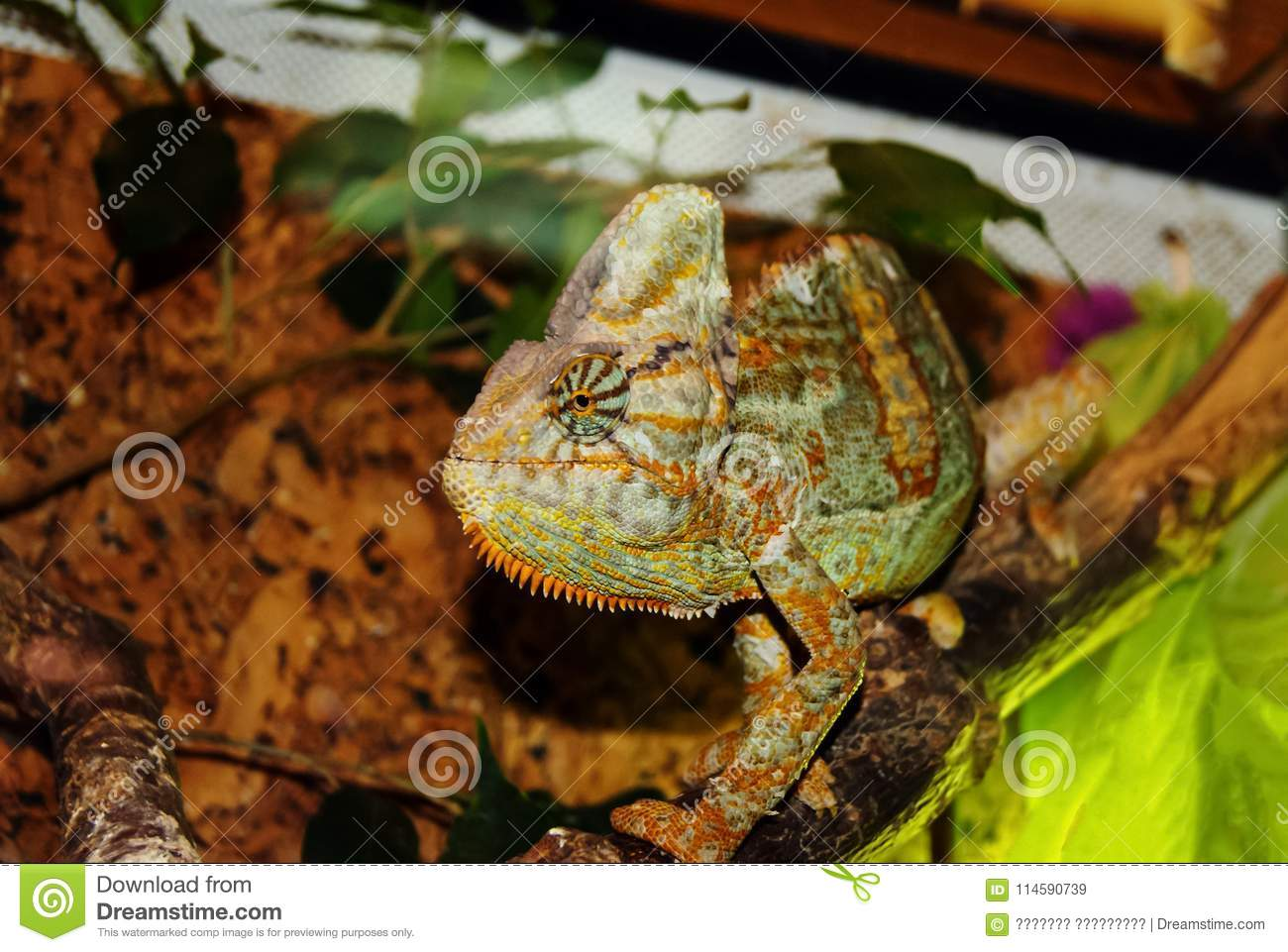 Veiled Chameleon In The Terrarium In Profile Editorial Stock Image Image Of Colored Lizard 114590739