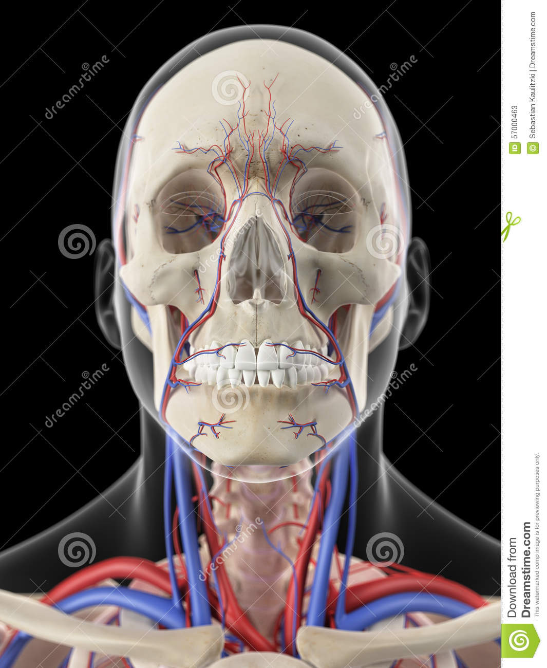 The Veins And Arteries Of The Head Stock Illustration Illustration