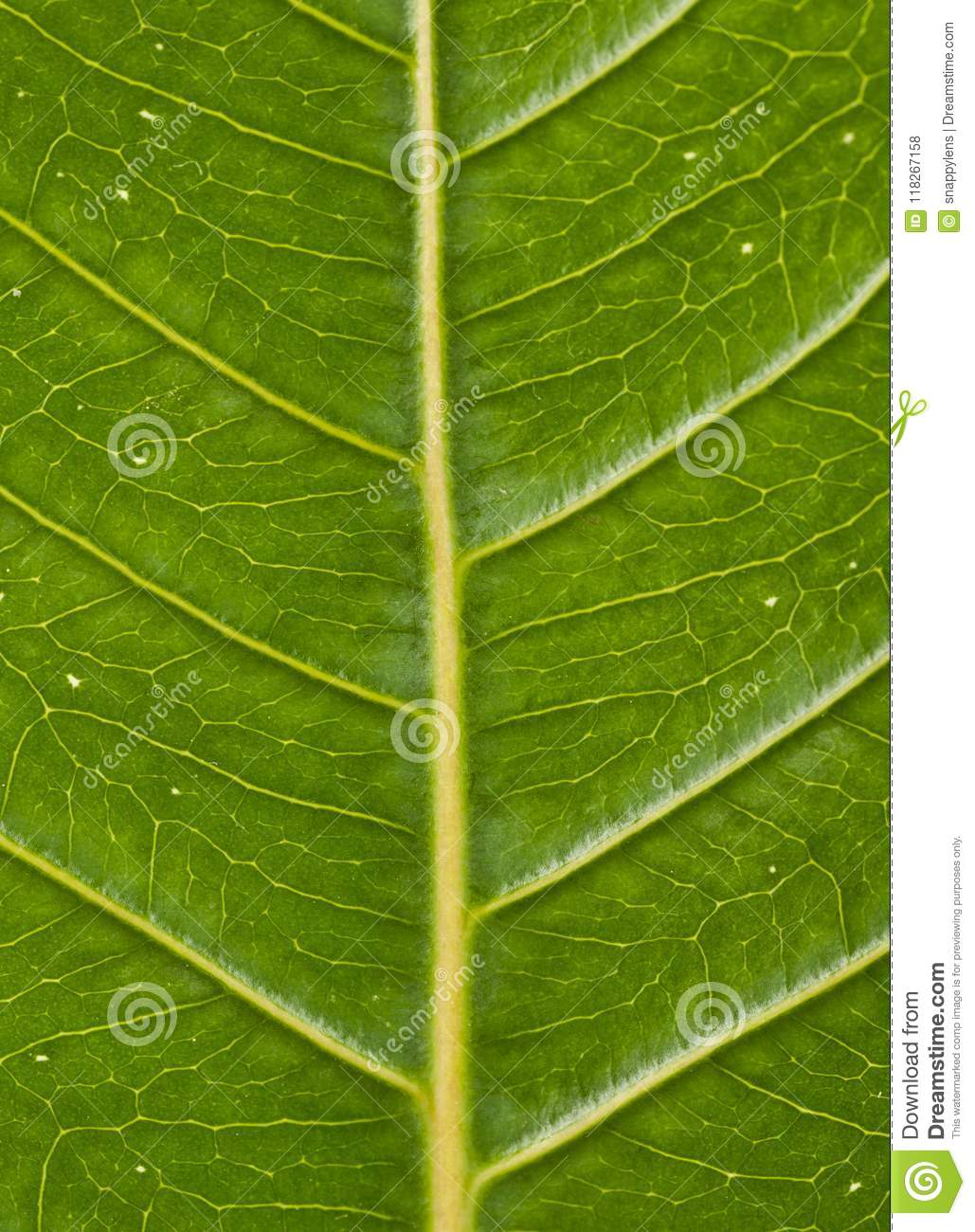 Veins of a green leaf showing angles