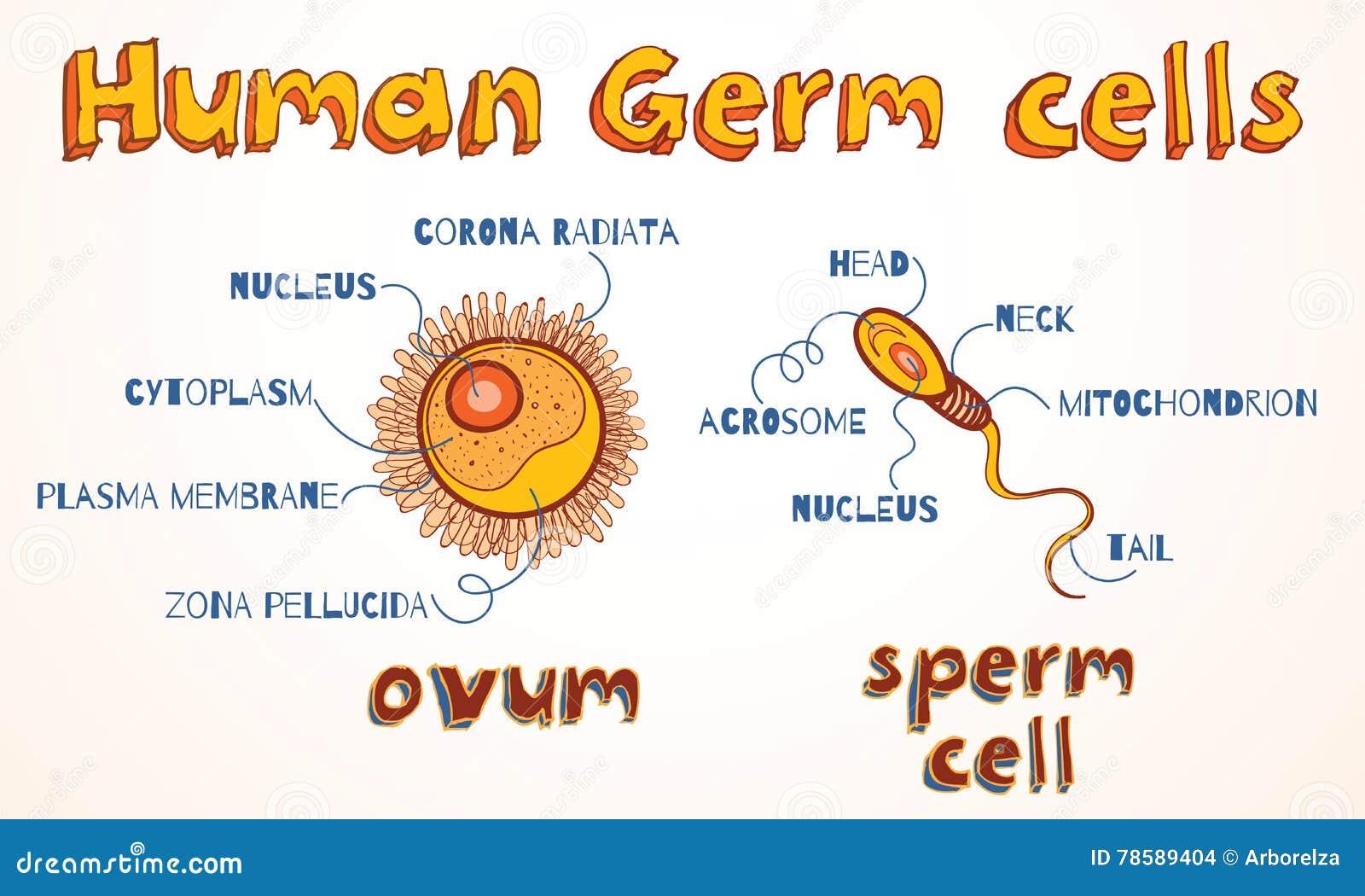 Vektorillustration Des Ovums Und Der Samenzelle Vektor Abbildung ...